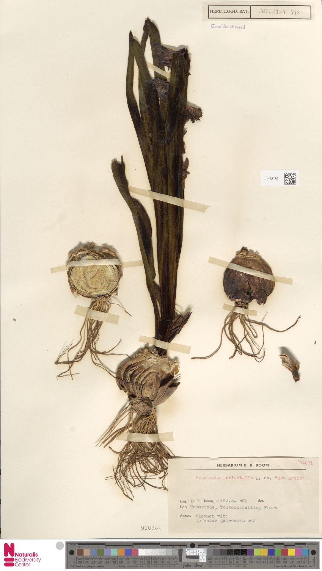 L.1452180 | Hyacinthus orientalis L.