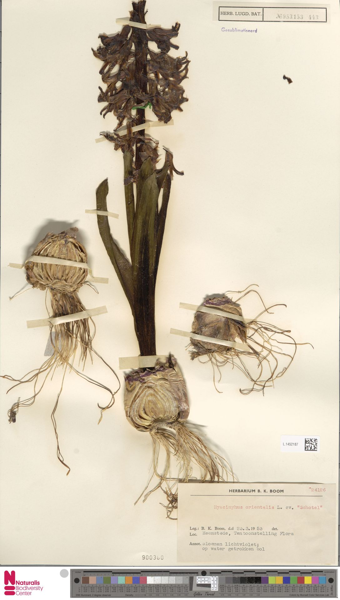 L.1452187   Hyacinthus orientalis L.