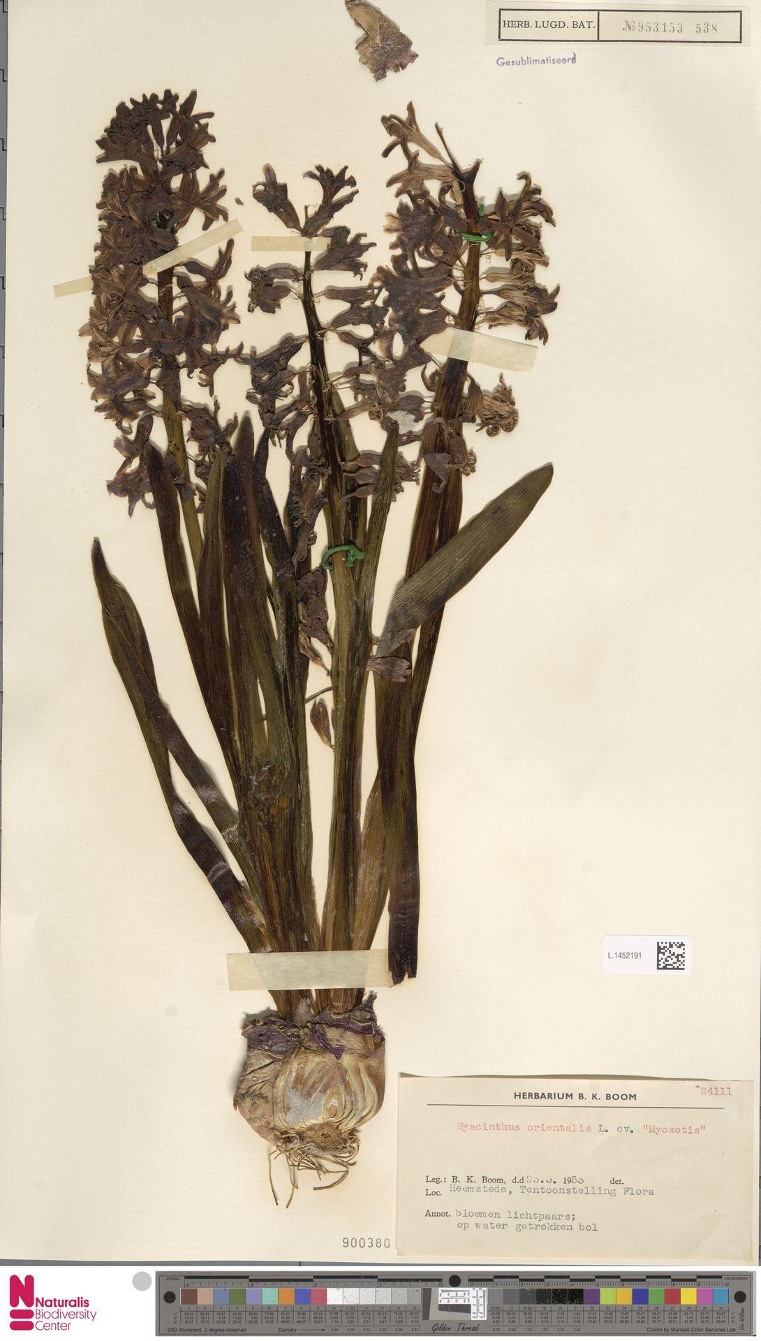 L.1452191 | Hyacinthus orientalis L.