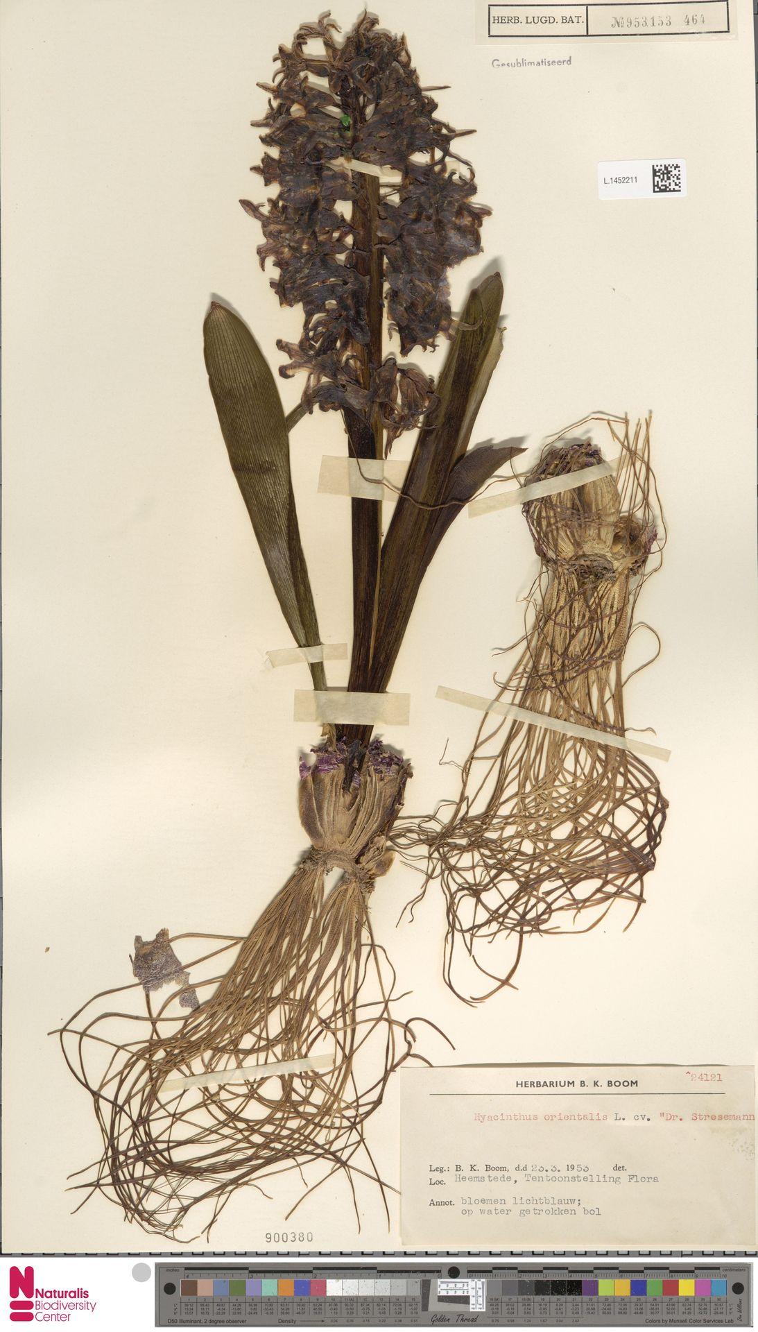 L.1452211 | Hyacinthus orientalis L.