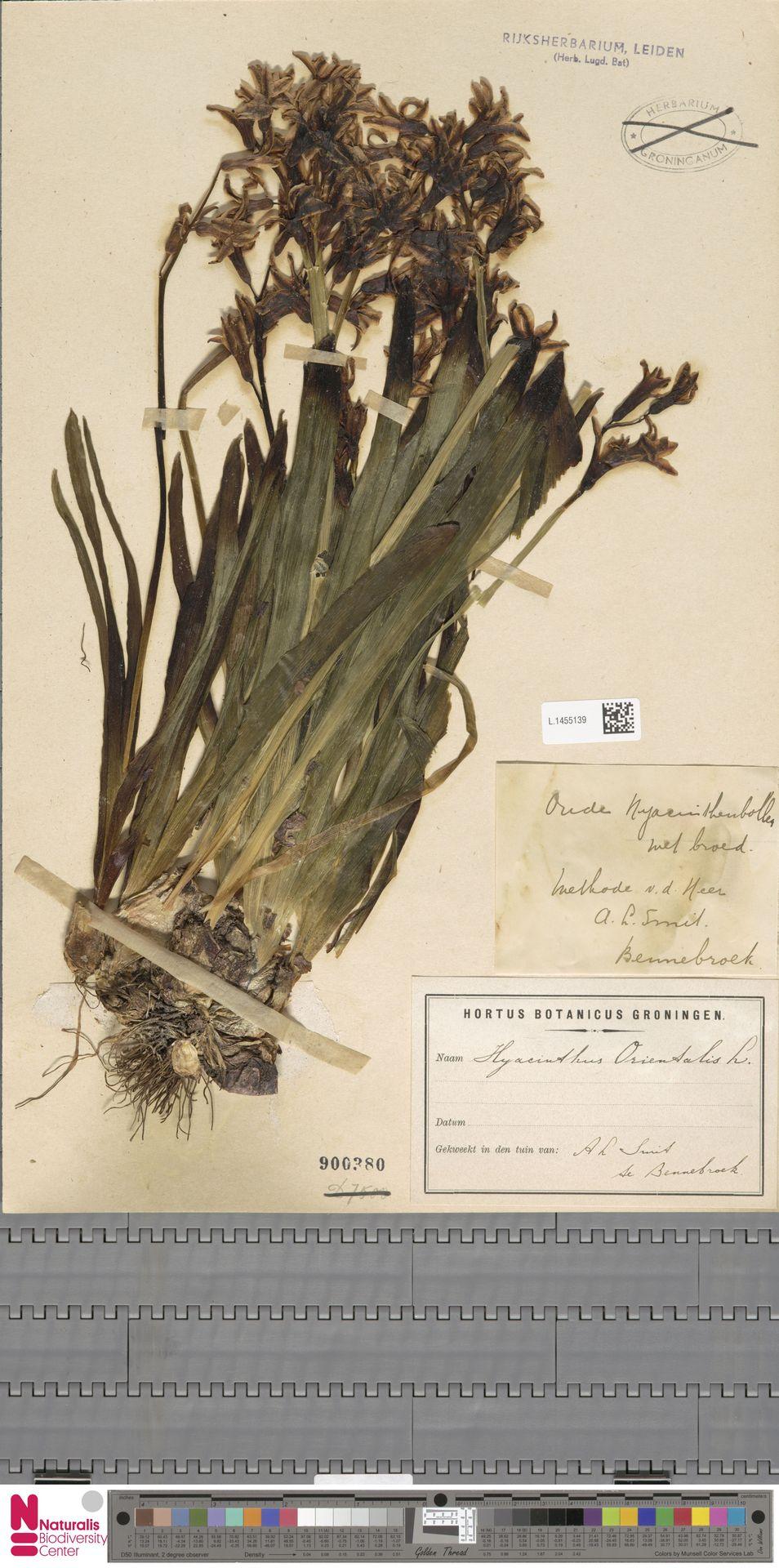 L.1455139 | Hyacinthus orientalis L.