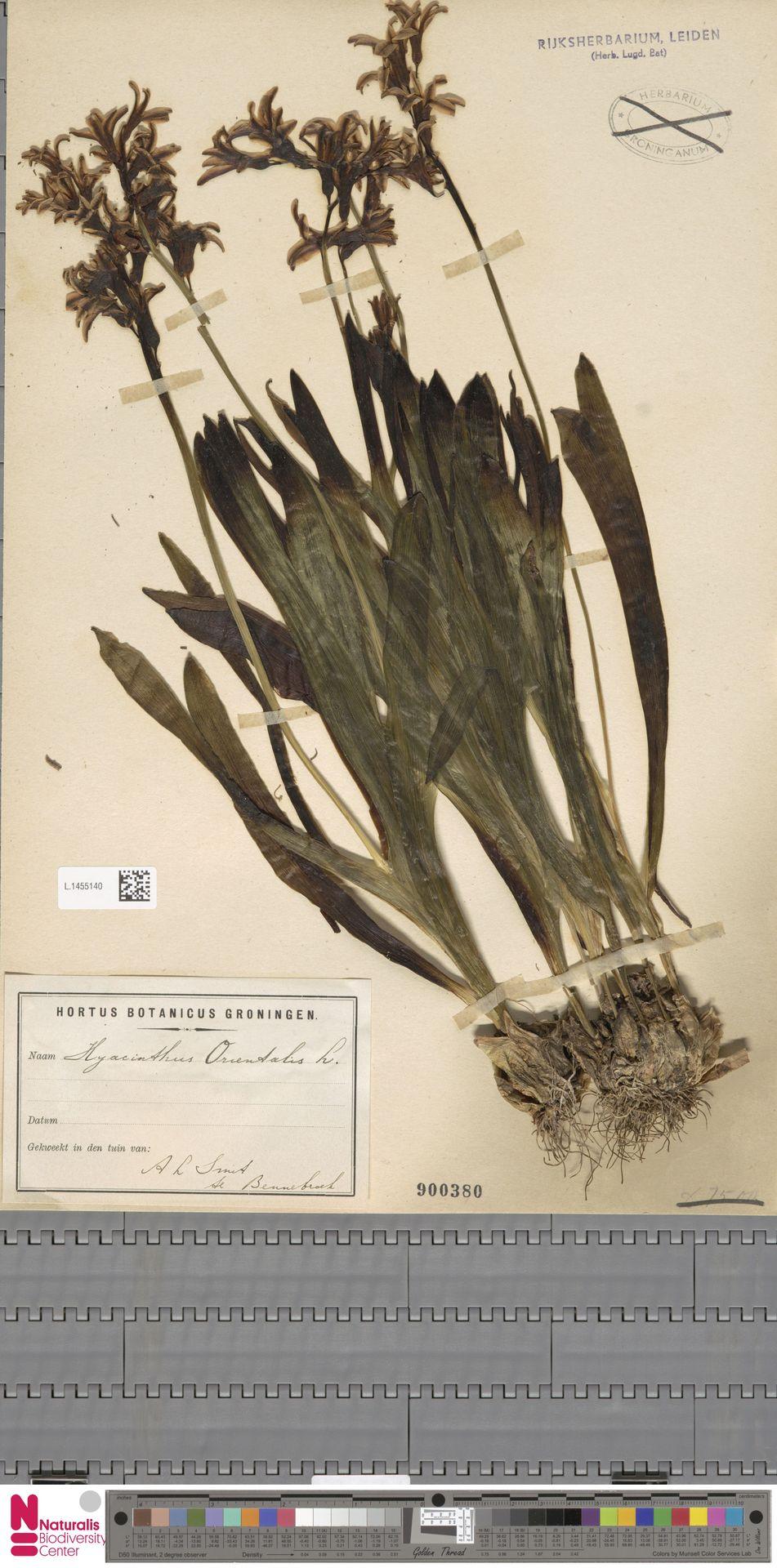 L.1455140 | Hyacinthus orientalis L.