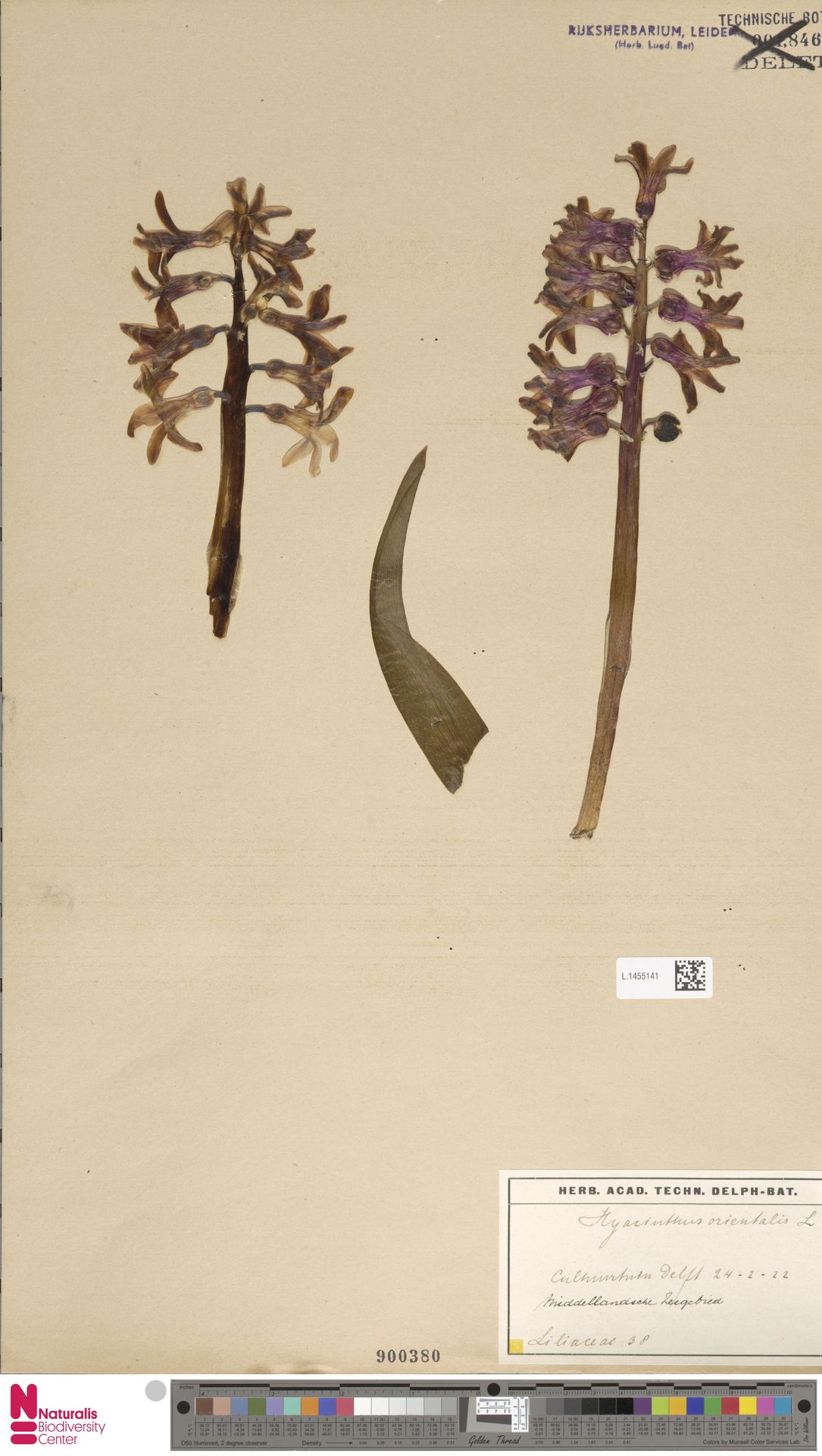 L.1455141   Hyacinthus orientalis L.