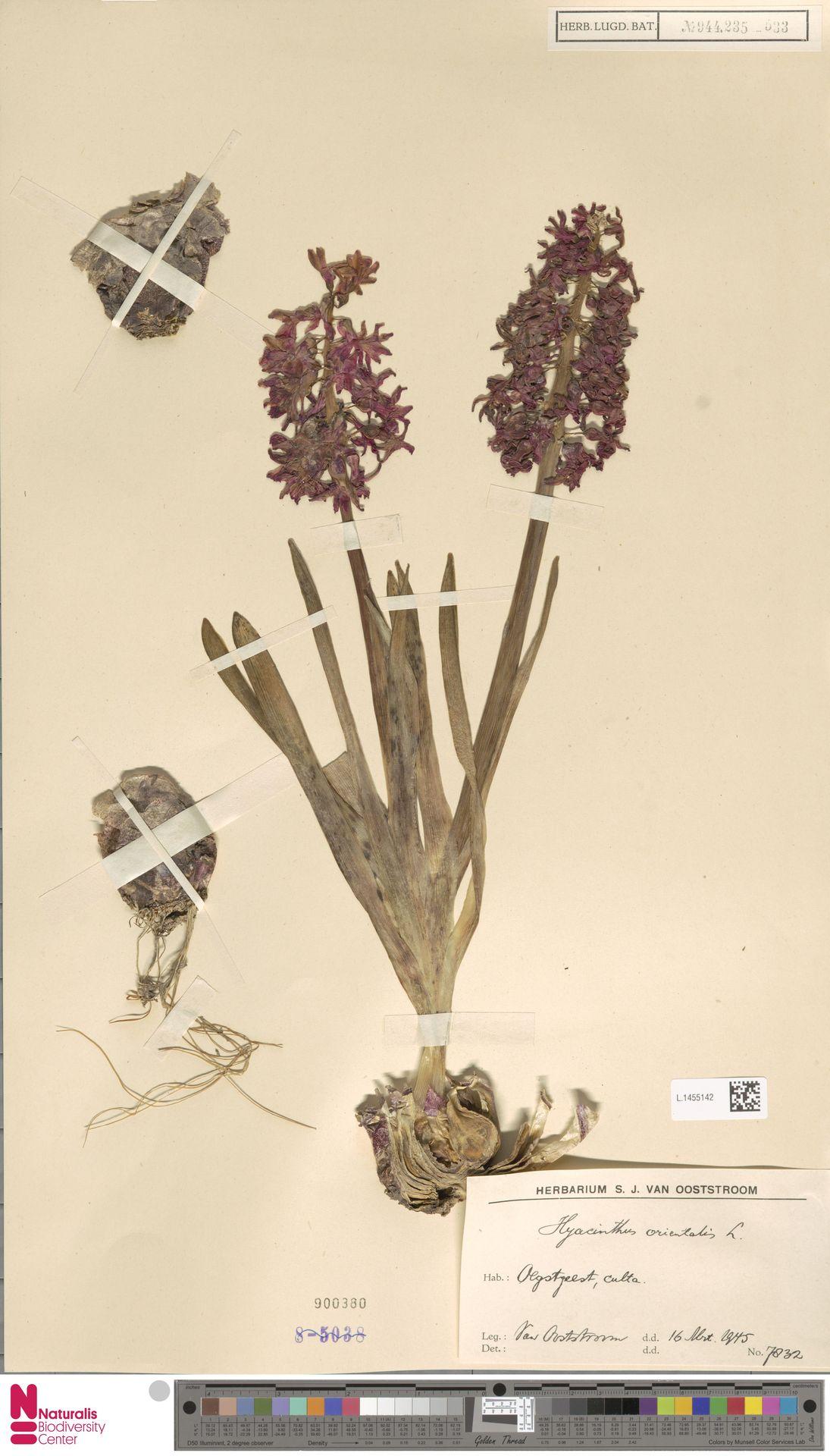 L.1455142 | Hyacinthus orientalis L.