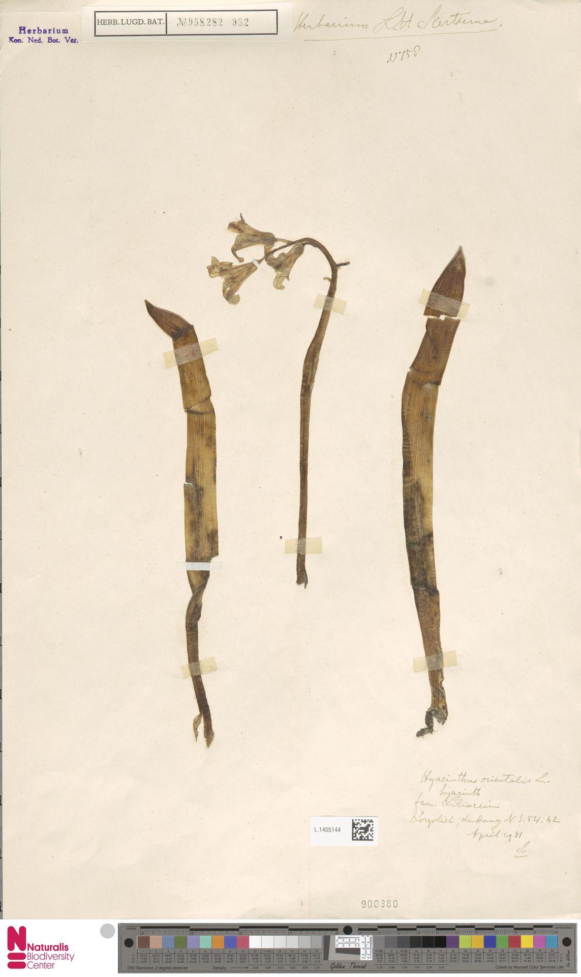 L.1455144 | Hyacinthus orientalis L.