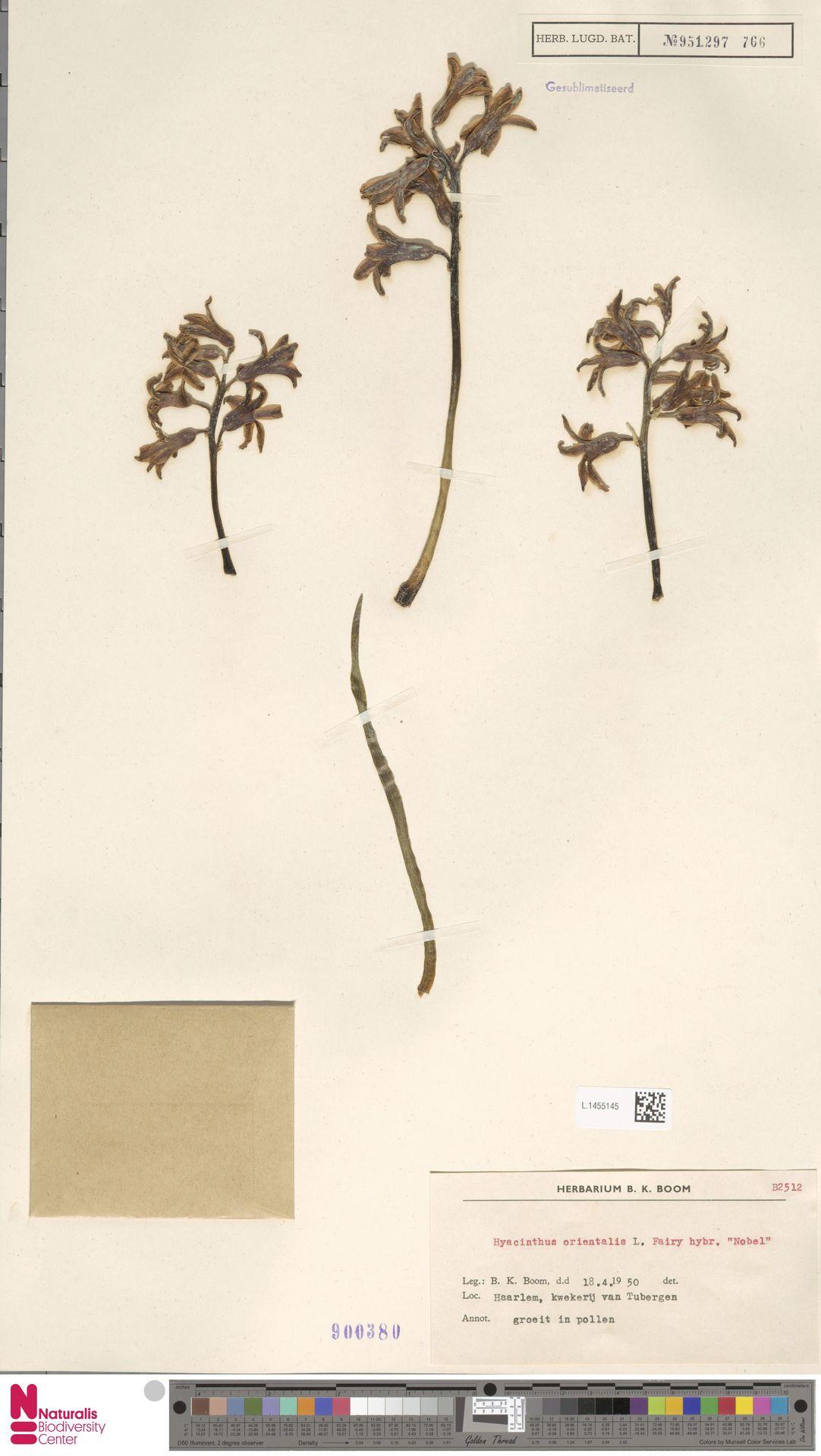 L.1455145 | Hyacinthus orientalis L.