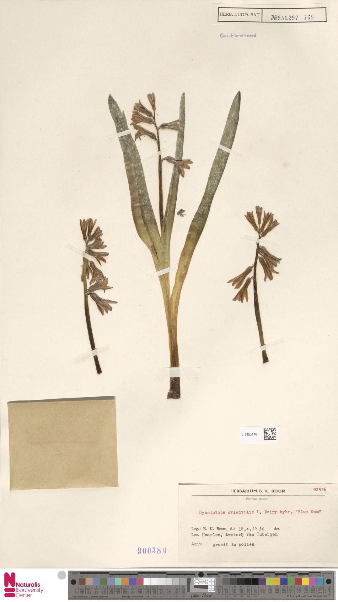 L.1455146 | Hyacinthus orientalis L.