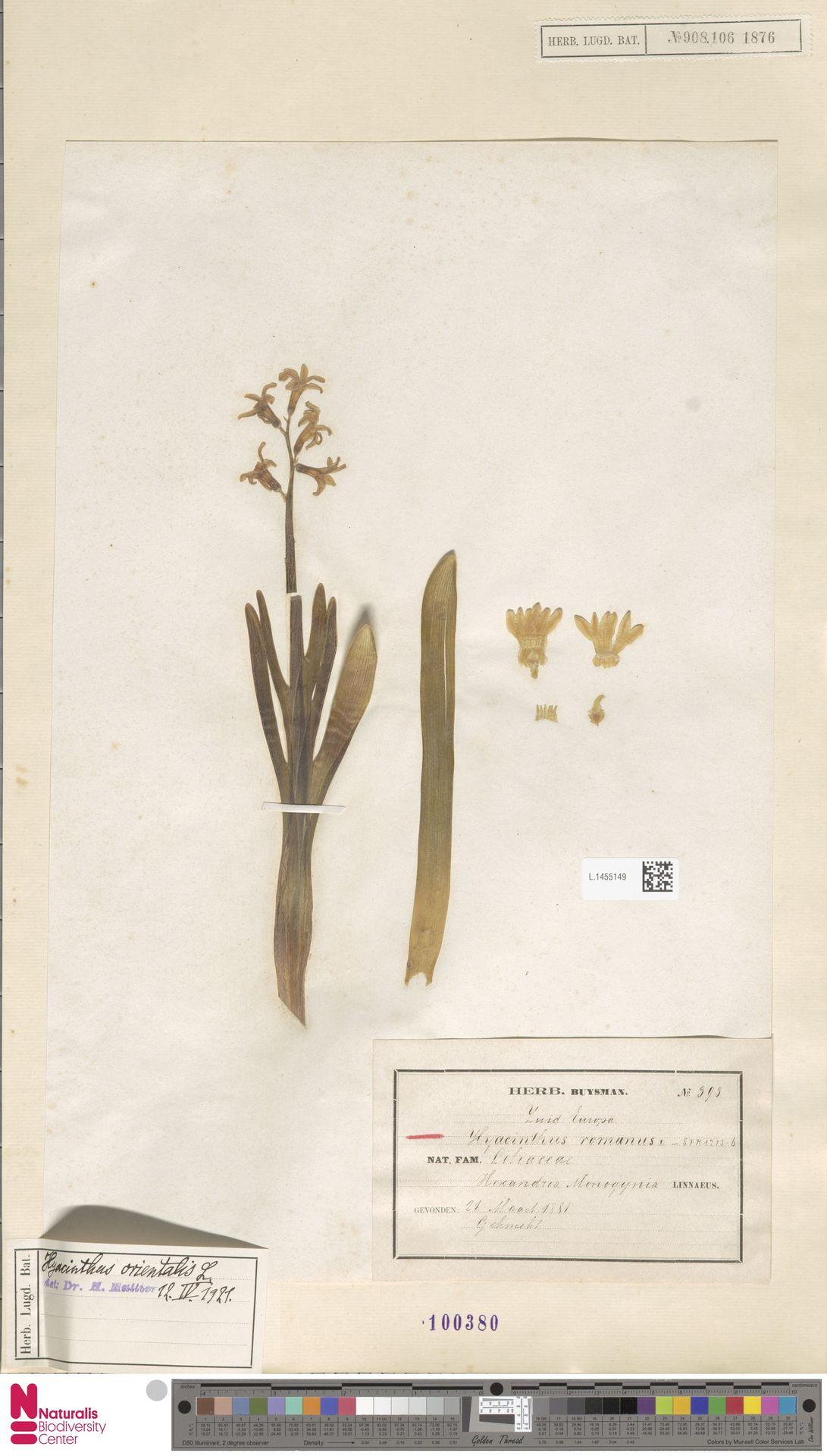 L.1455149 | Hyacinthus orientalis L.