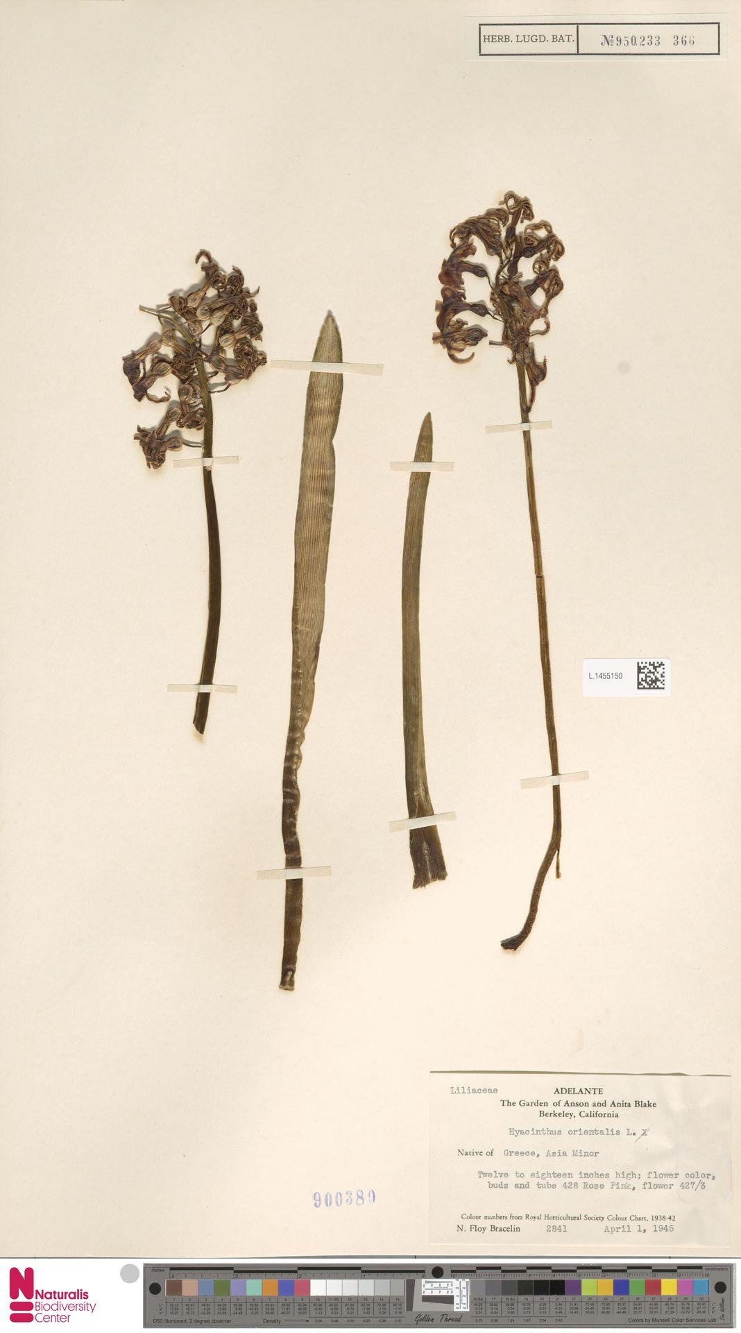 L.1455150 | Hyacinthus orientalis L.