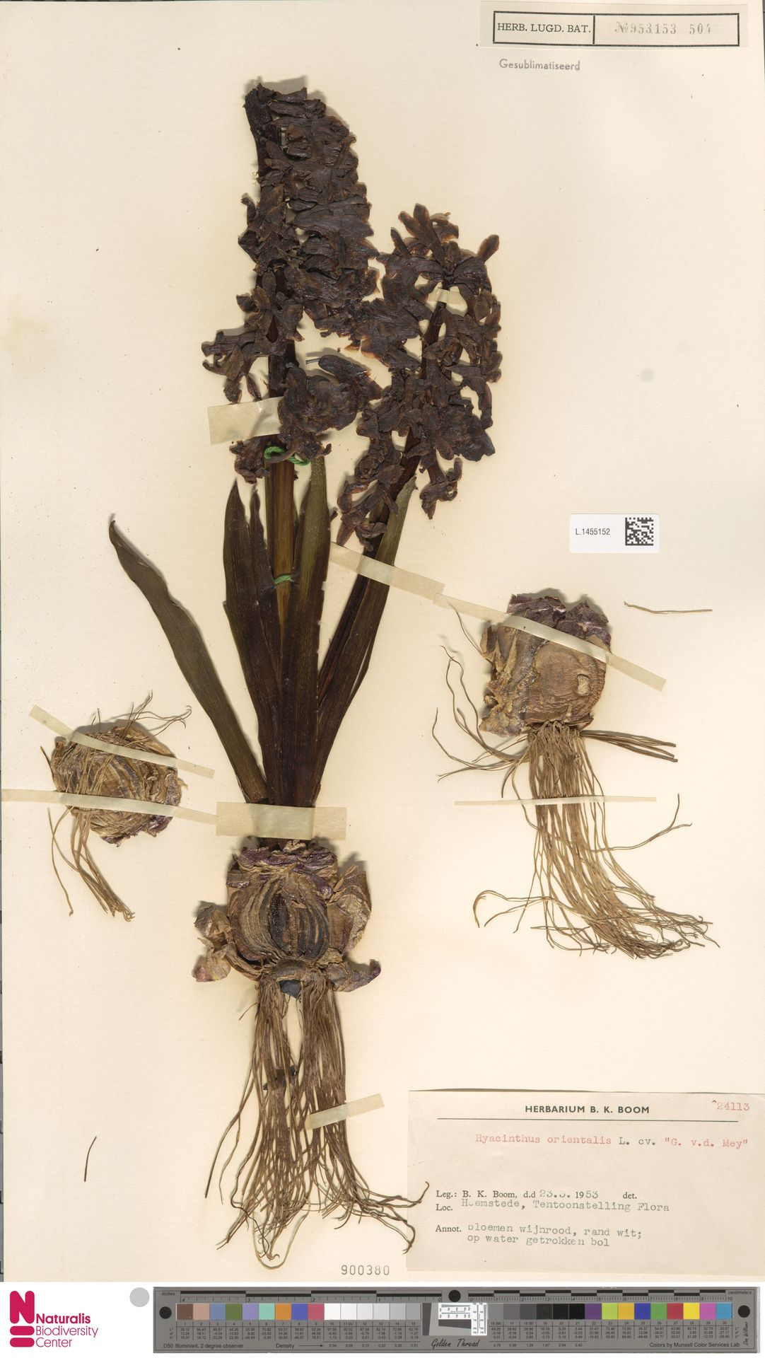 L.1455152 | Hyacinthus orientalis L.
