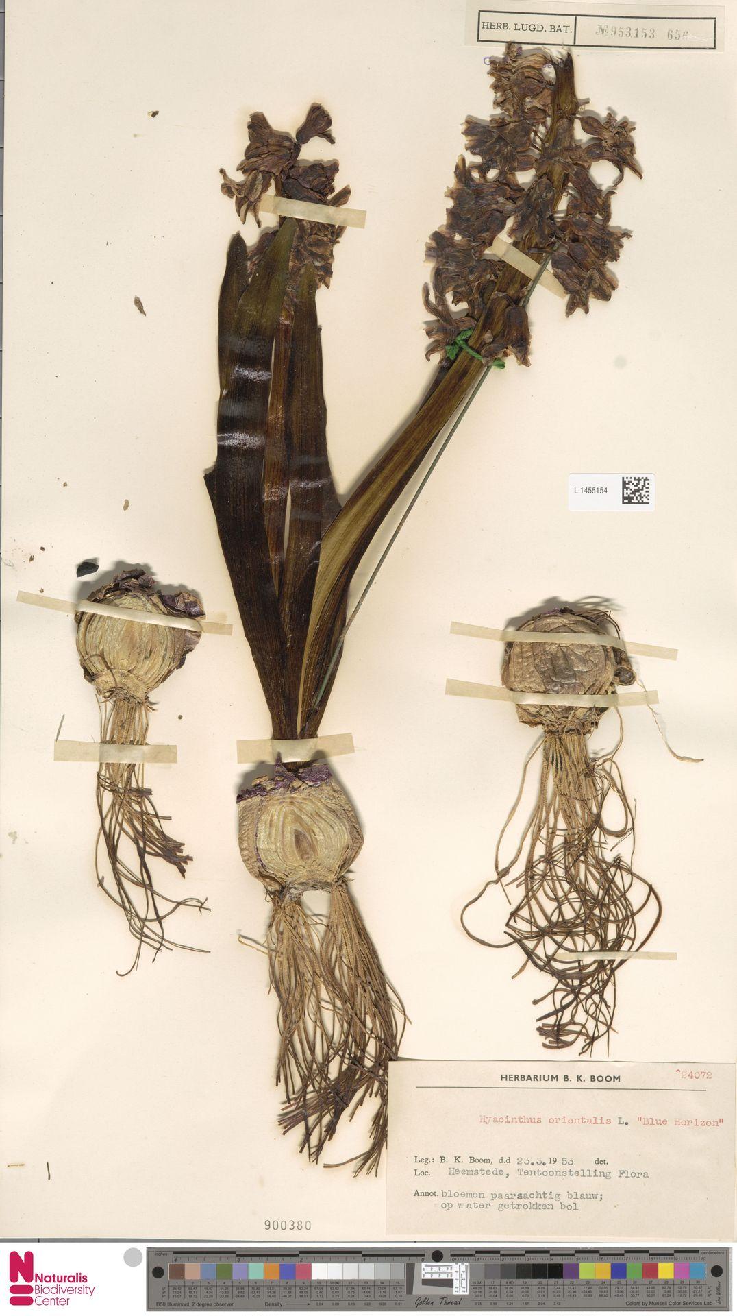 L.1455154 | Hyacinthus orientalis cv. 'Blue Horizon'