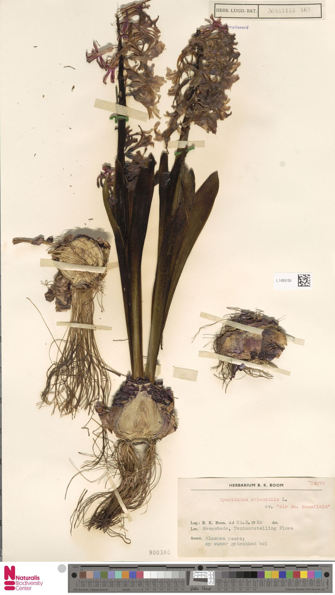 L.1455155 | Hyacinthus orientalis cv. 'Sir Wm. Mansfield'