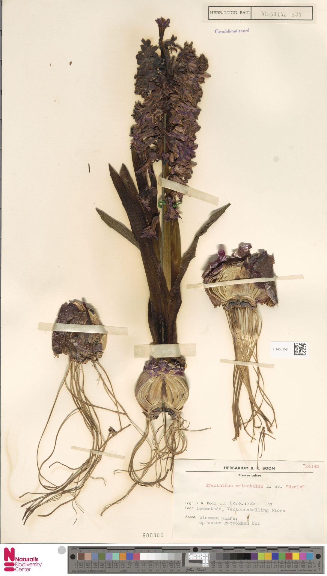 L.1455158 | Hyacinthus orientalis cv. 'Marie'