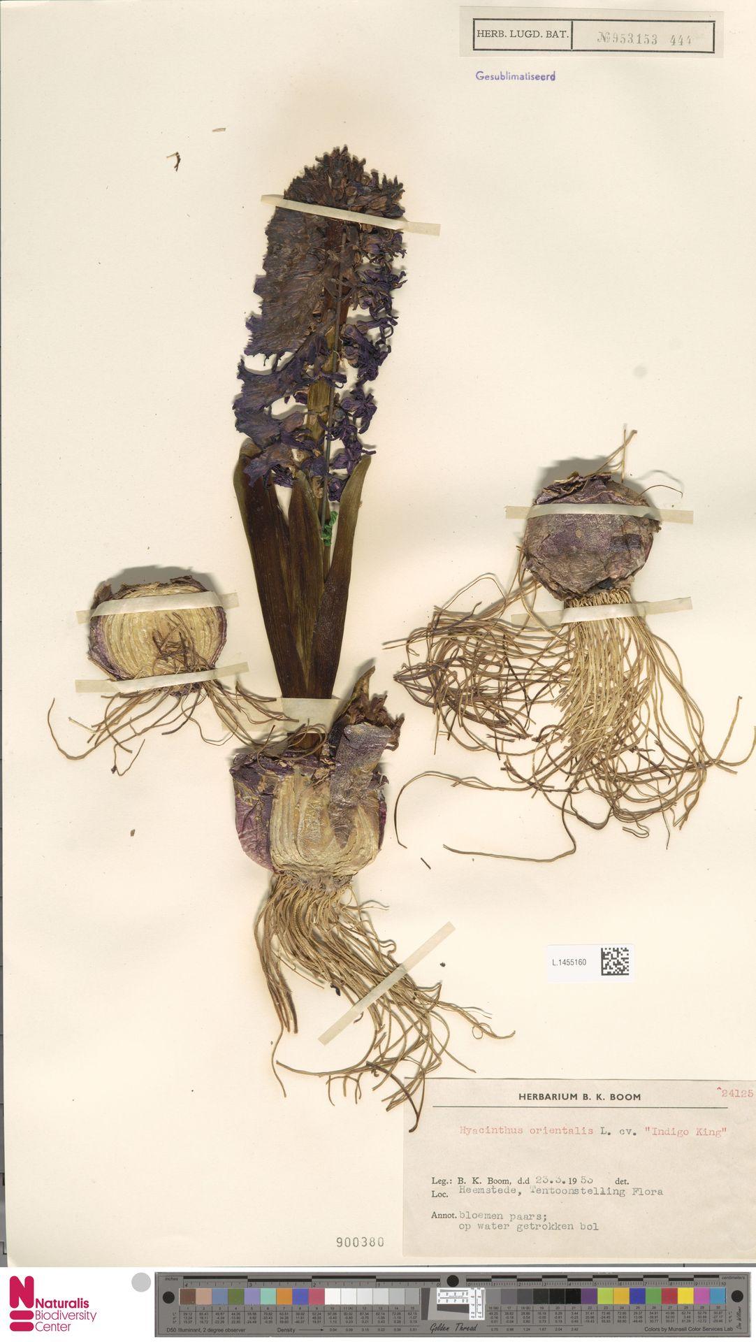 L.1455160 | Hyacinthus orientalis cv. 'Indigo King'