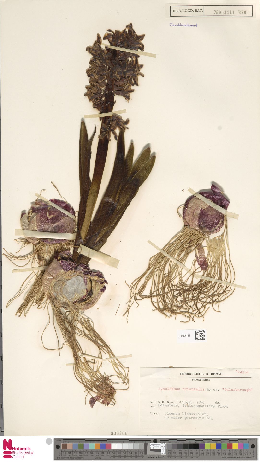 L.1455161 | Hyacinthus orientalis cv. 'Gainsborough'