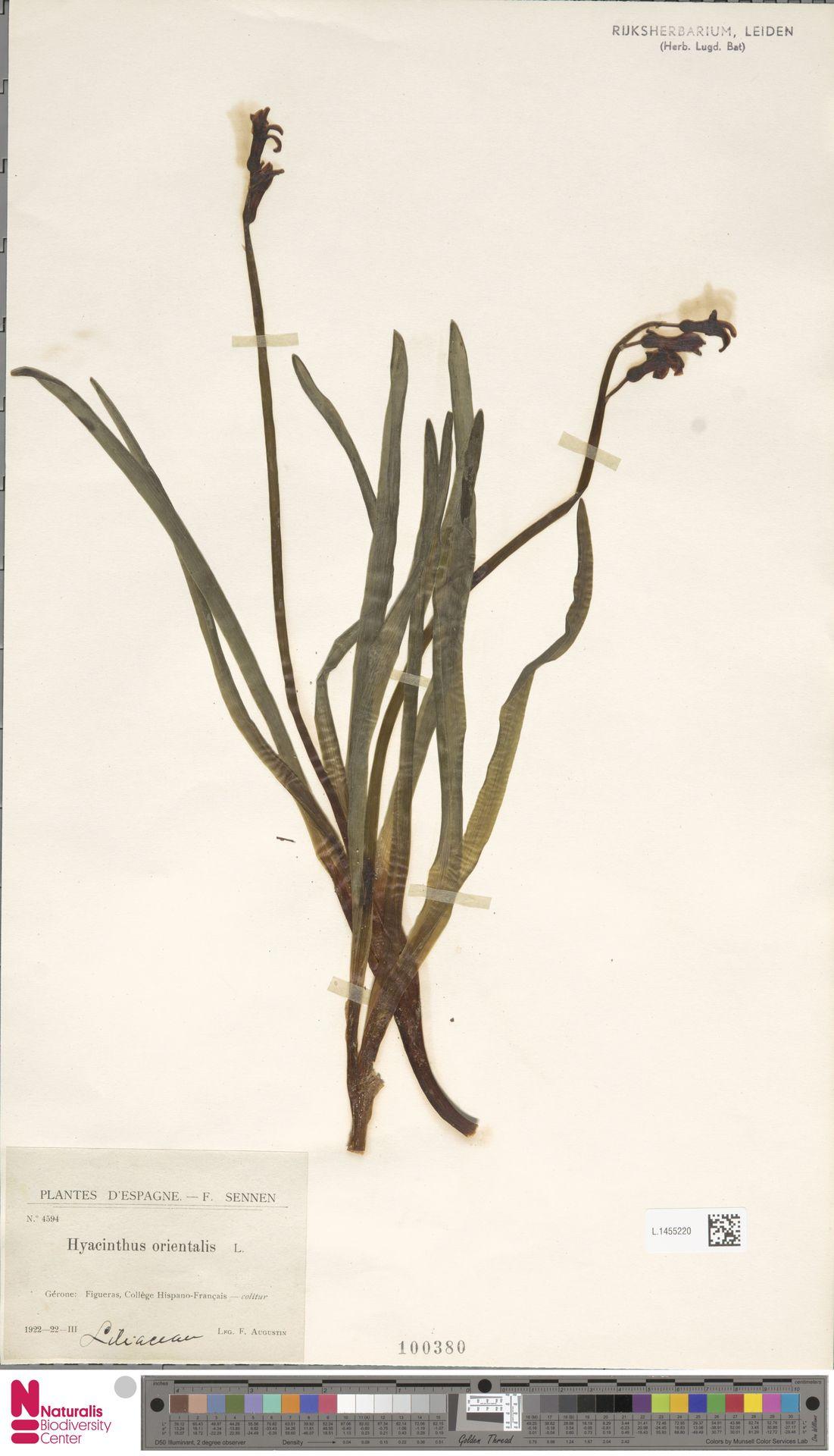 L.1455220 | Hyacinthus orientalis L.