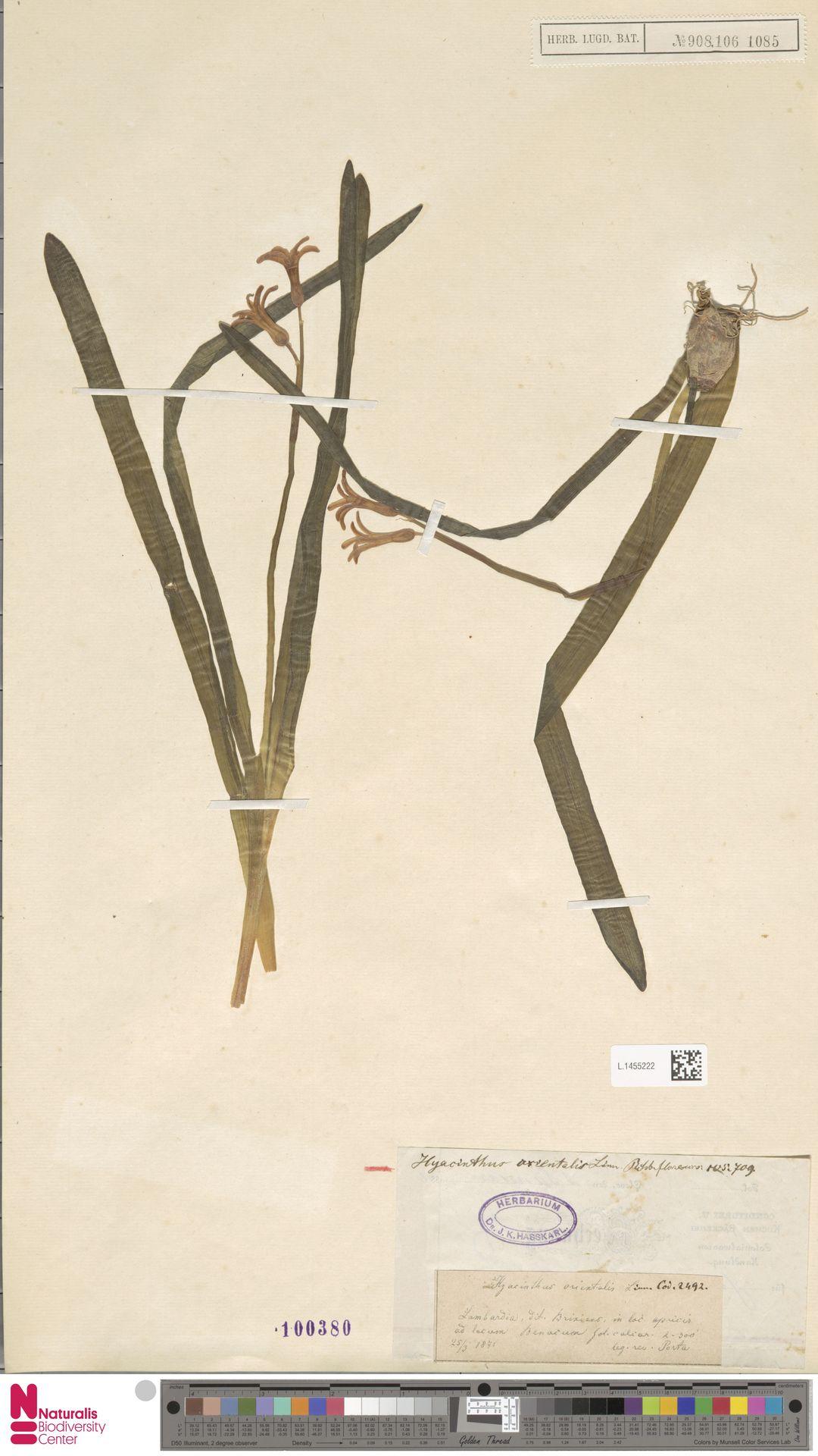 L.1455222 | Hyacinthus orientalis L.