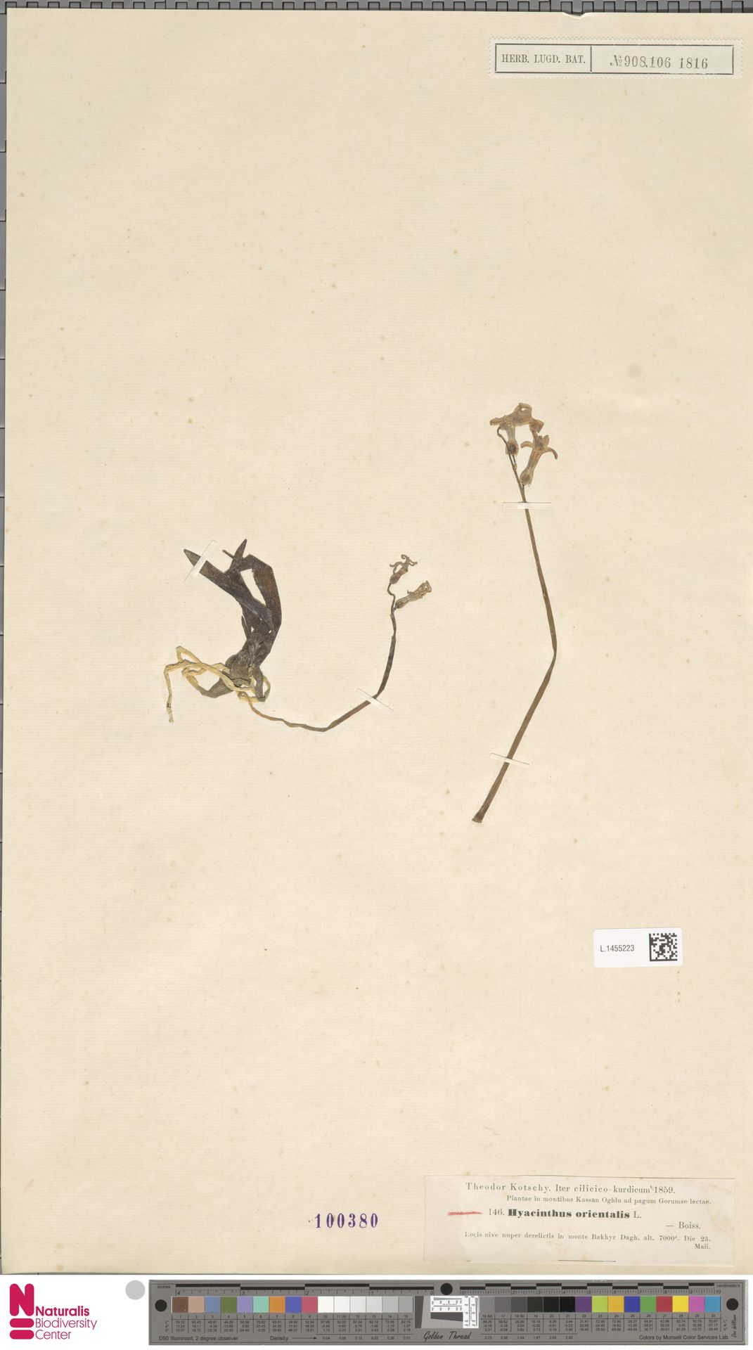 L.1455223 | Hyacinthus orientalis L.