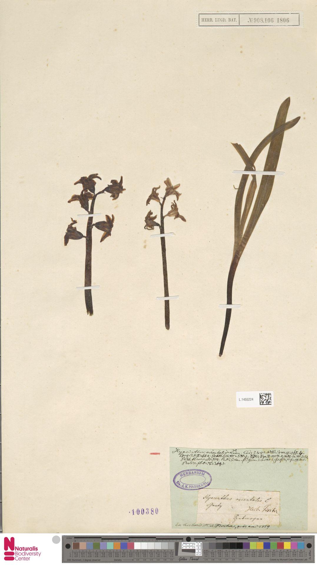 L.1455224 | Hyacinthus orientalis L.