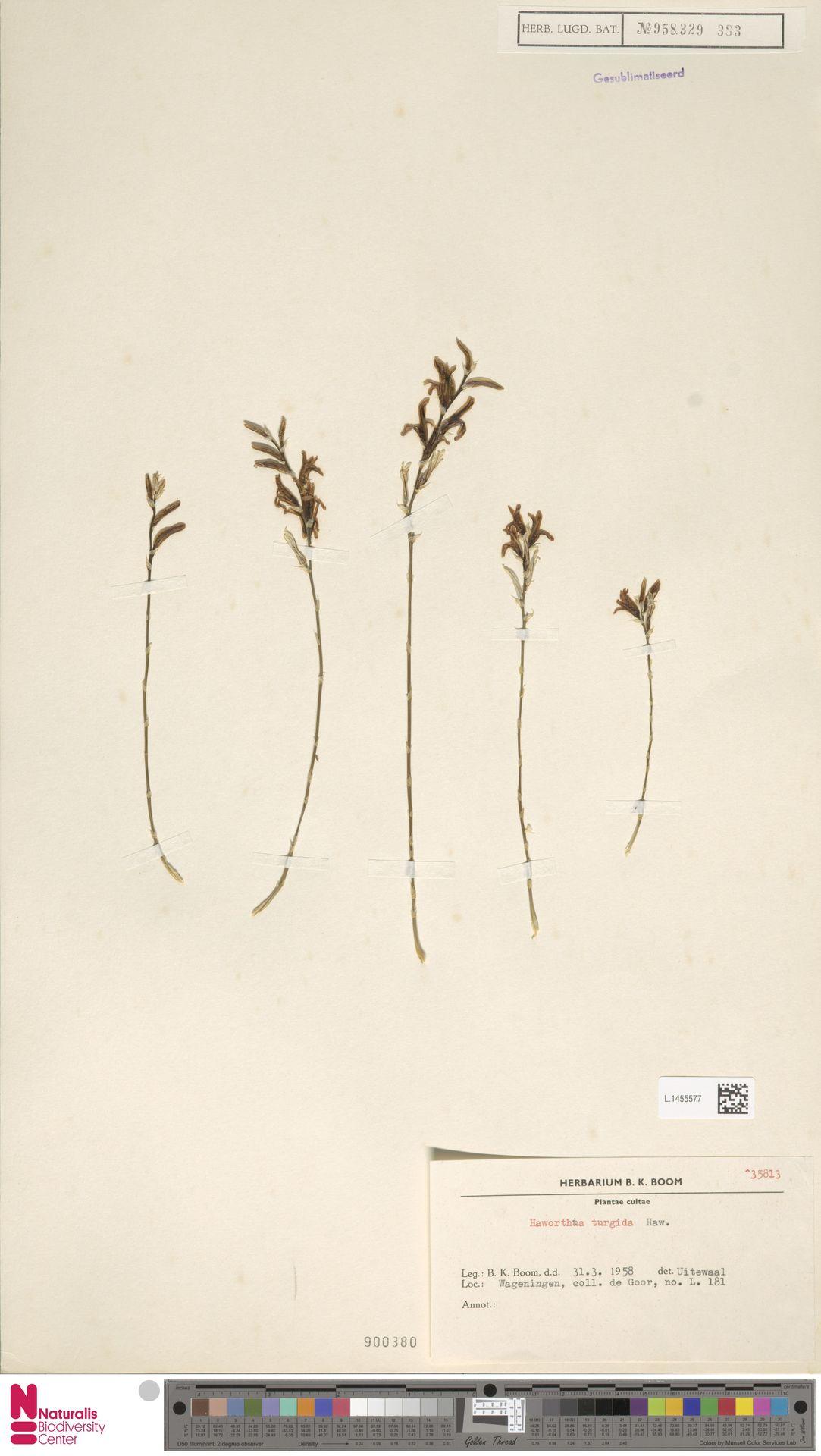 L.1455577   Haworthia turgida Haw.