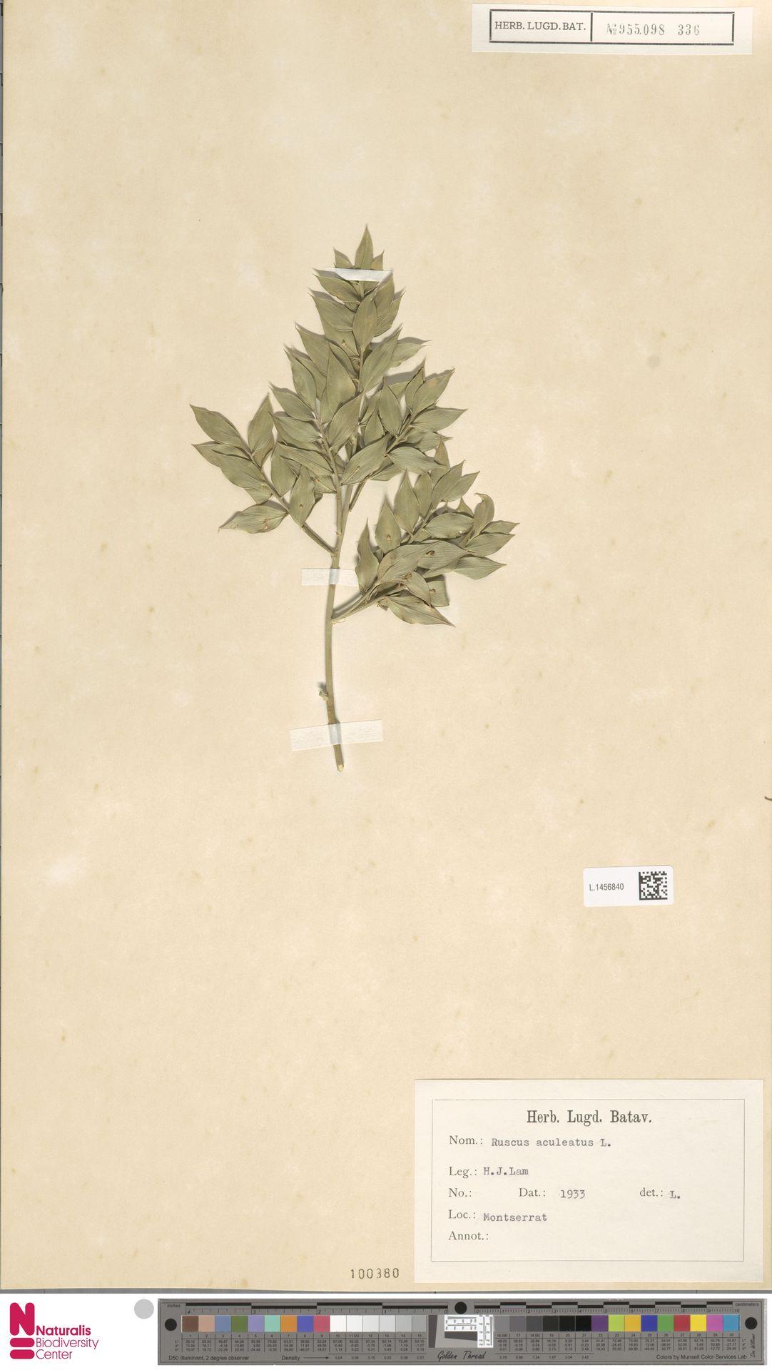 L.1456840 | Ruscus aculeatus L.