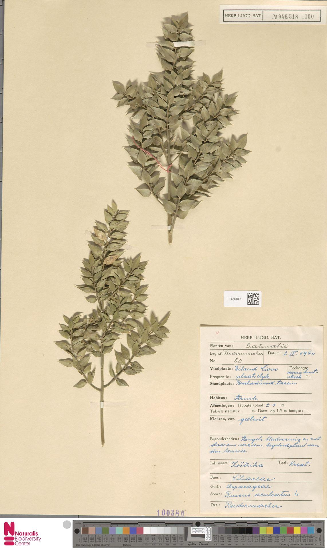 L.1456847 | Ruscus aculeatus L.