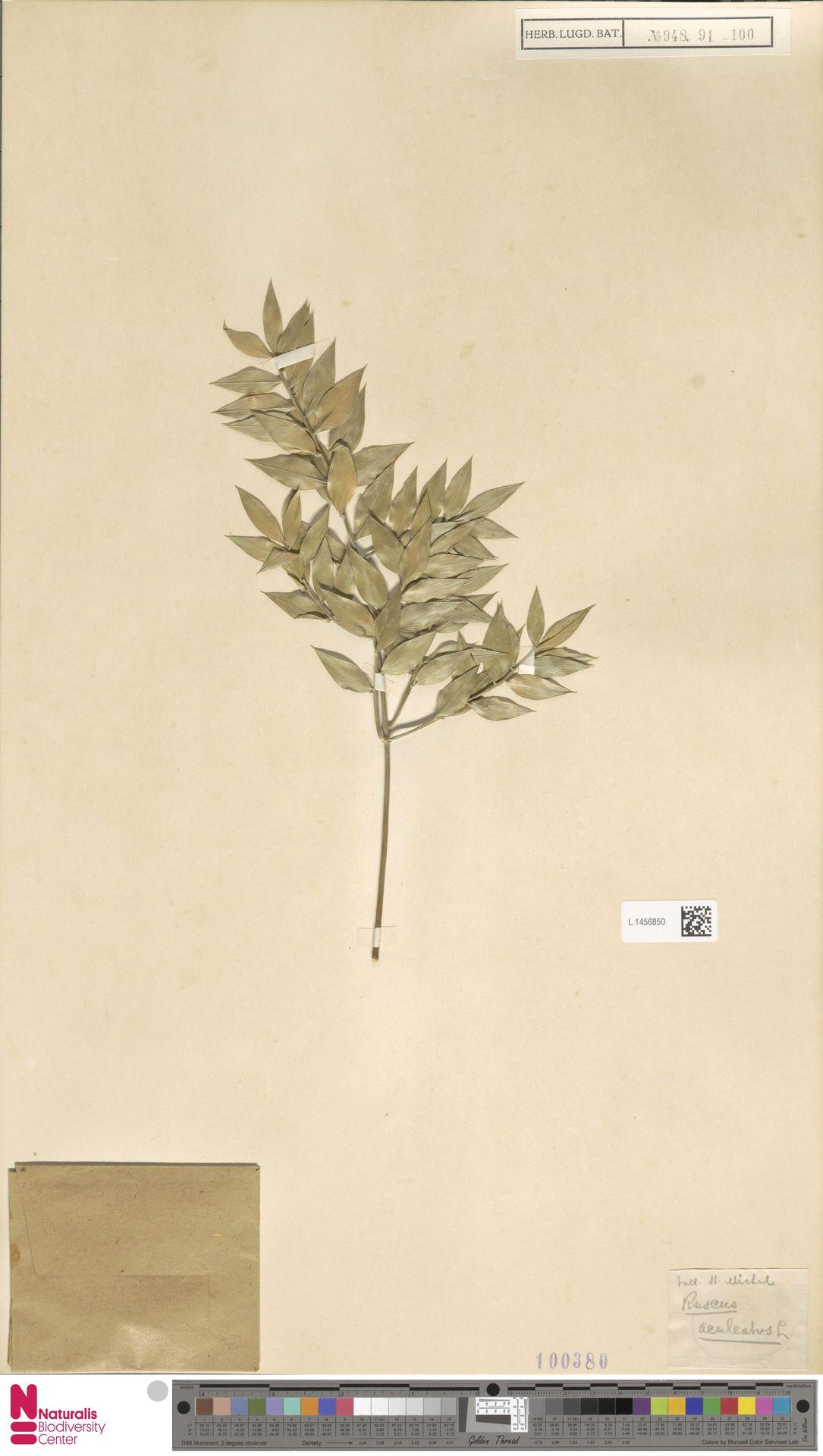 L.1456850 | Ruscus aculeatus L.