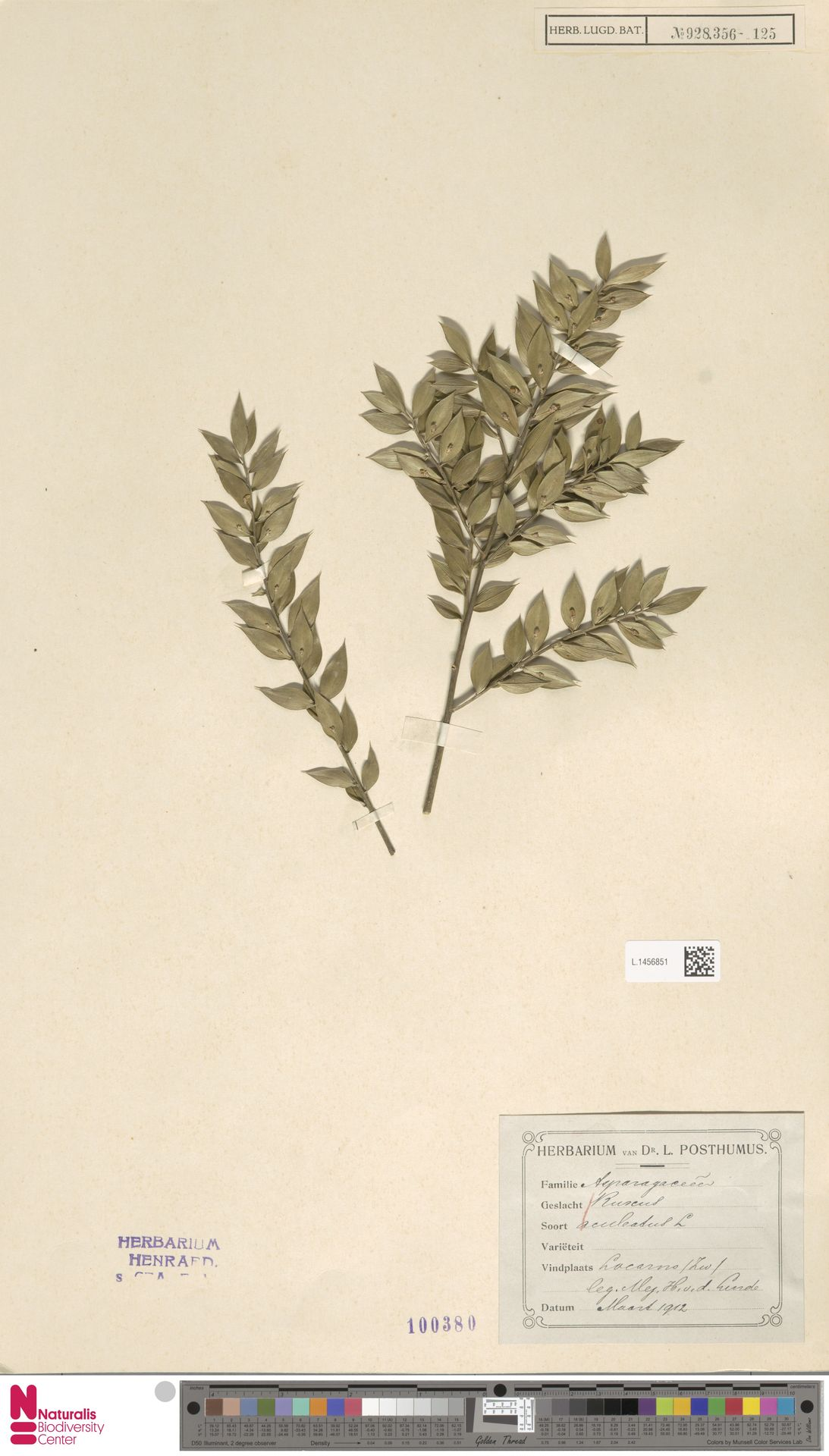 L.1456851   Ruscus aculeatus L.