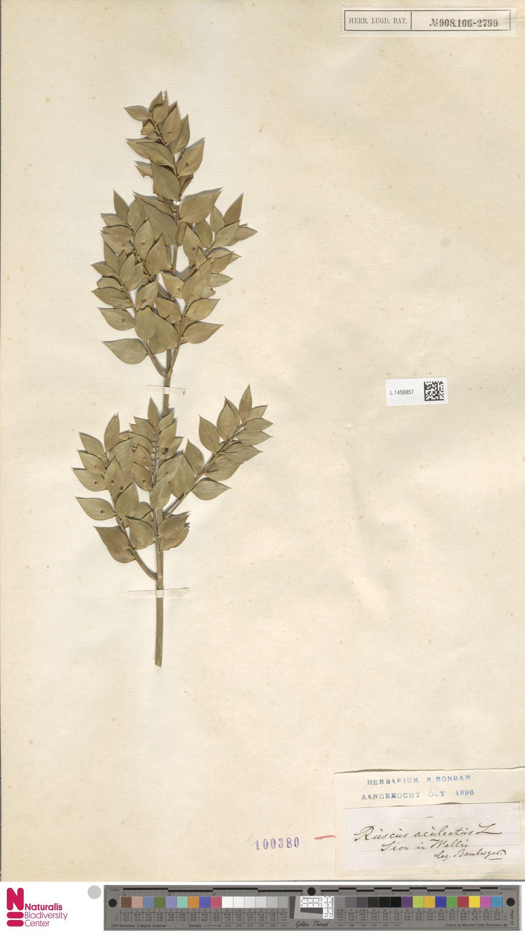 L.1456857   Ruscus aculeatus L.