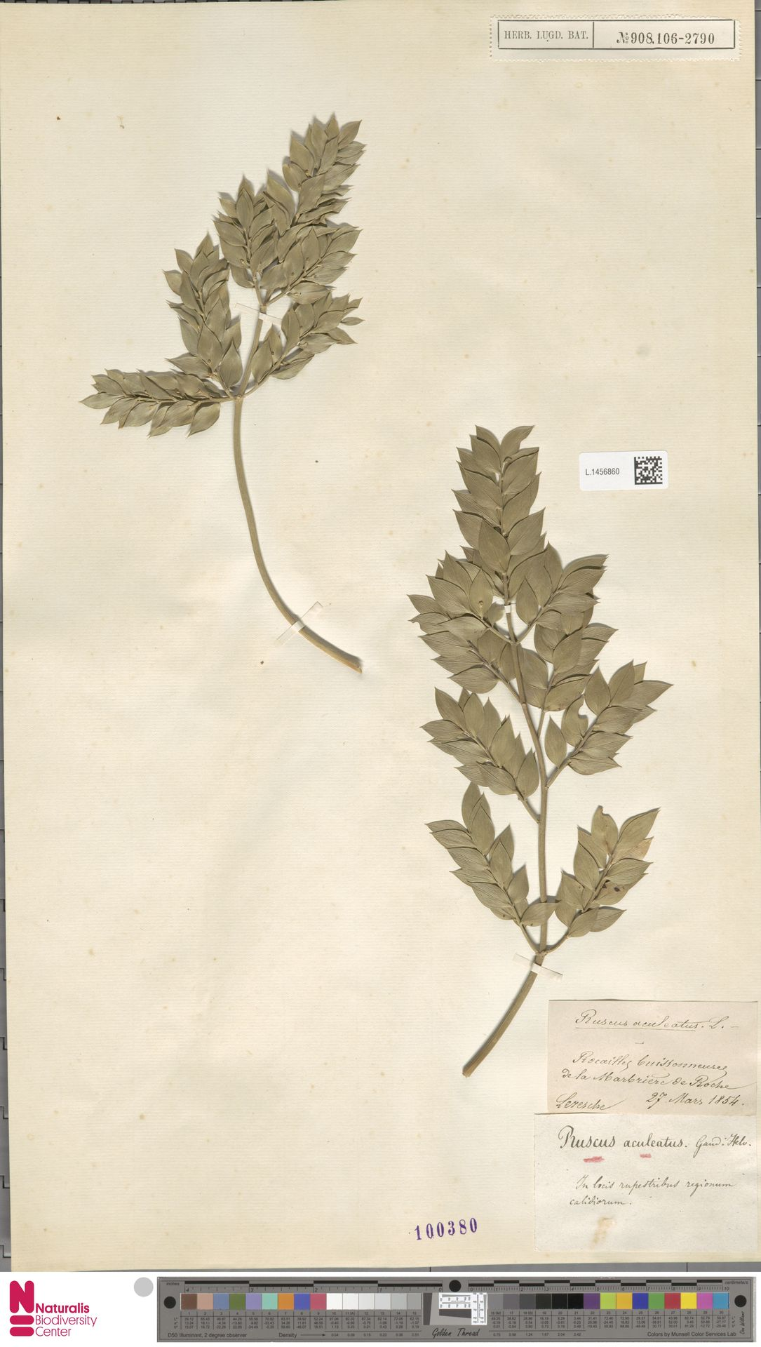 L.1456860 | Ruscus aculeatus L.