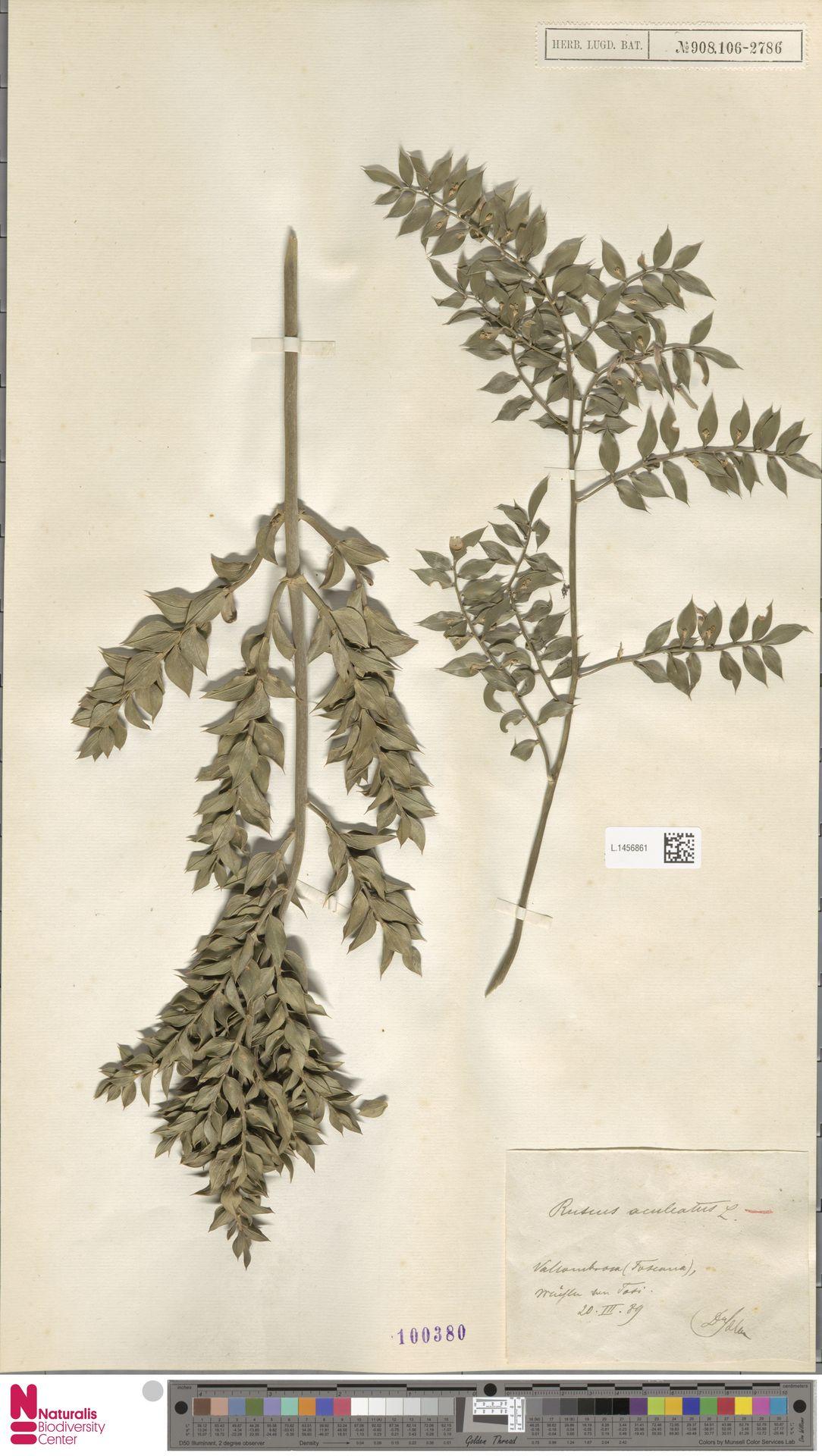 L.1456861 | Ruscus aculeatus L.