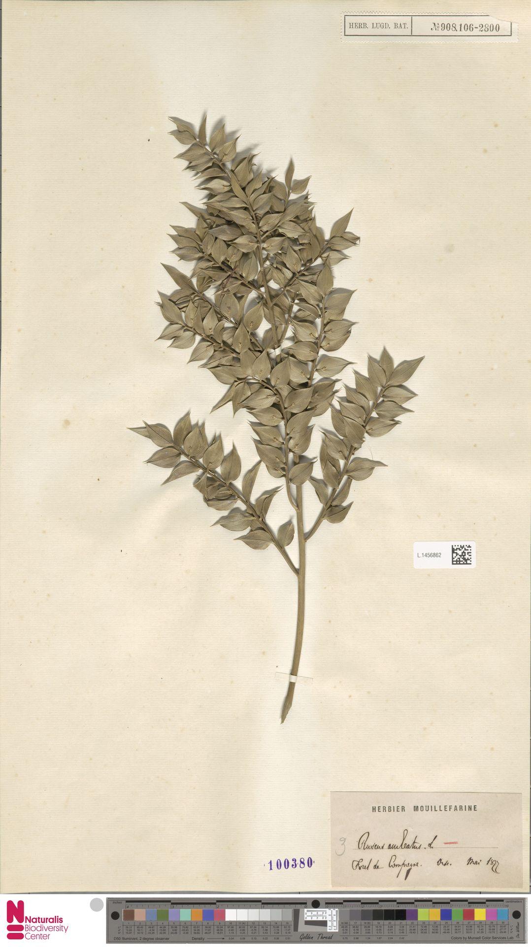 L.1456862 | Ruscus aculeatus L.