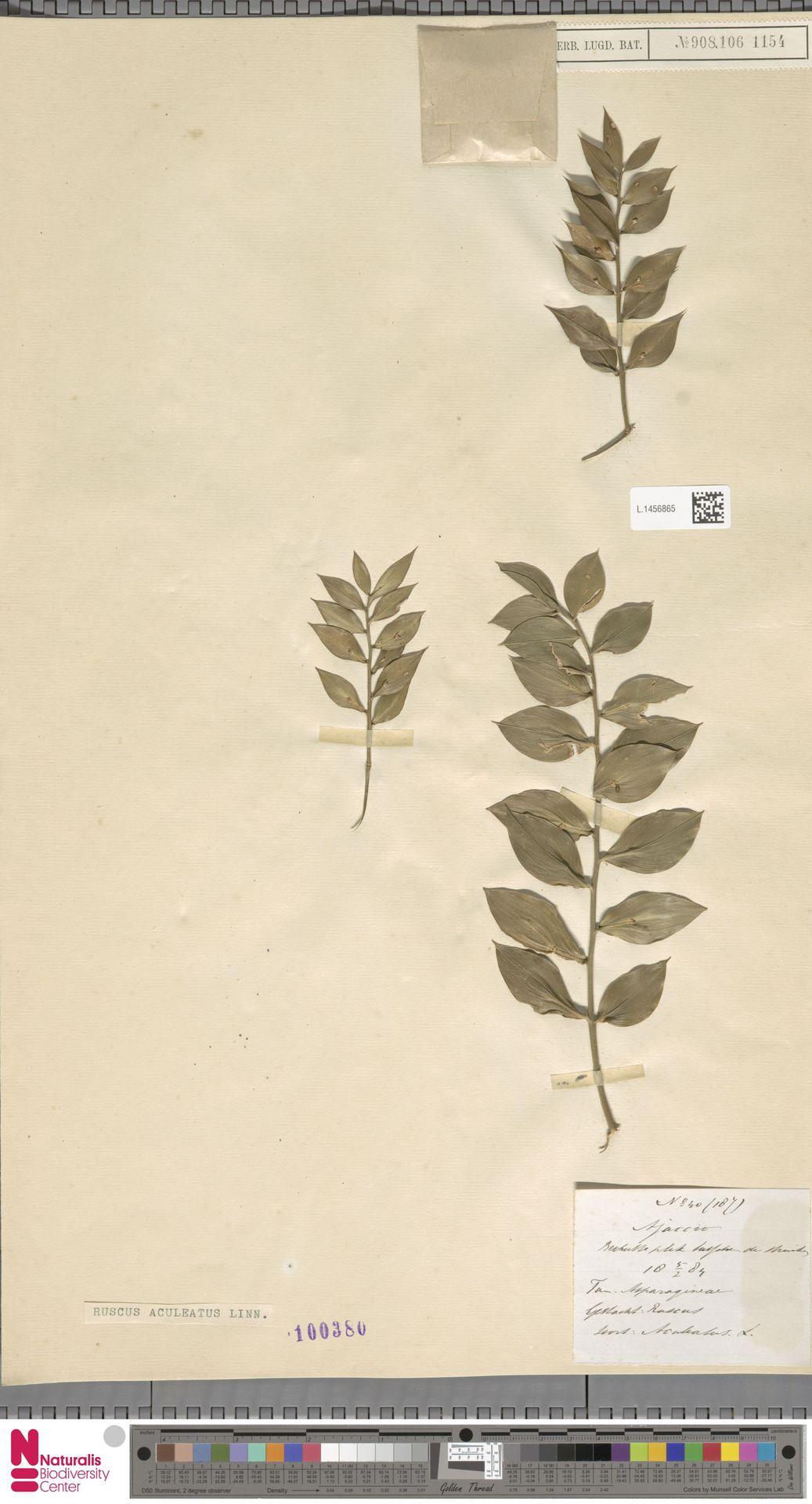L.1456865 | Ruscus aculeatus L.