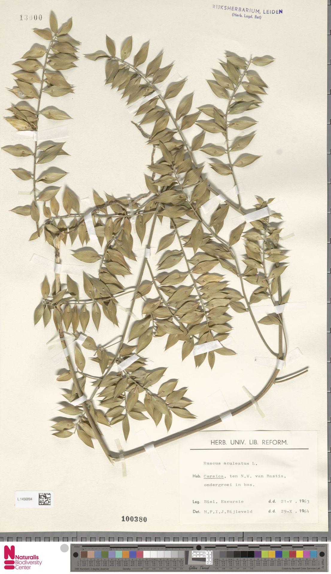 L.1456894 | Ruscus aculeatus L.