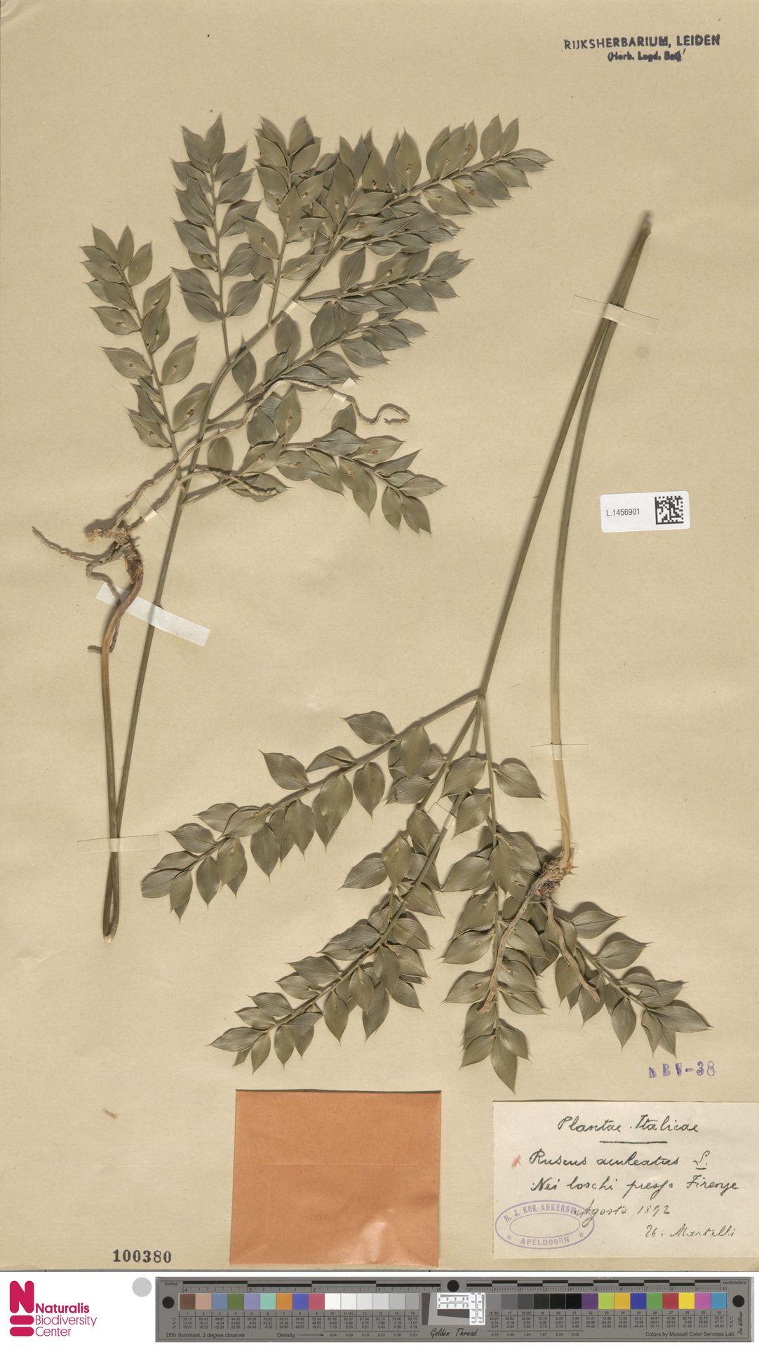 L.1456901   Ruscus aculeatus L.