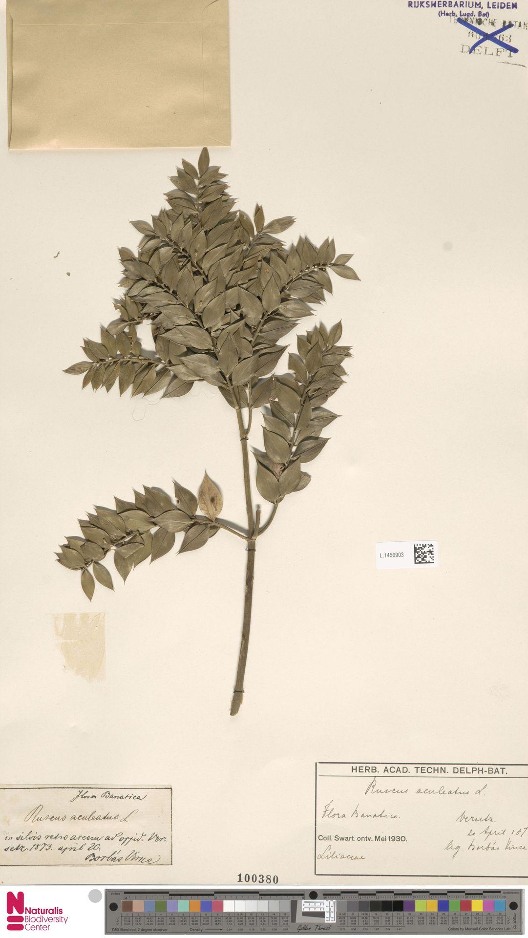 L.1456903   Ruscus aculeatus L.