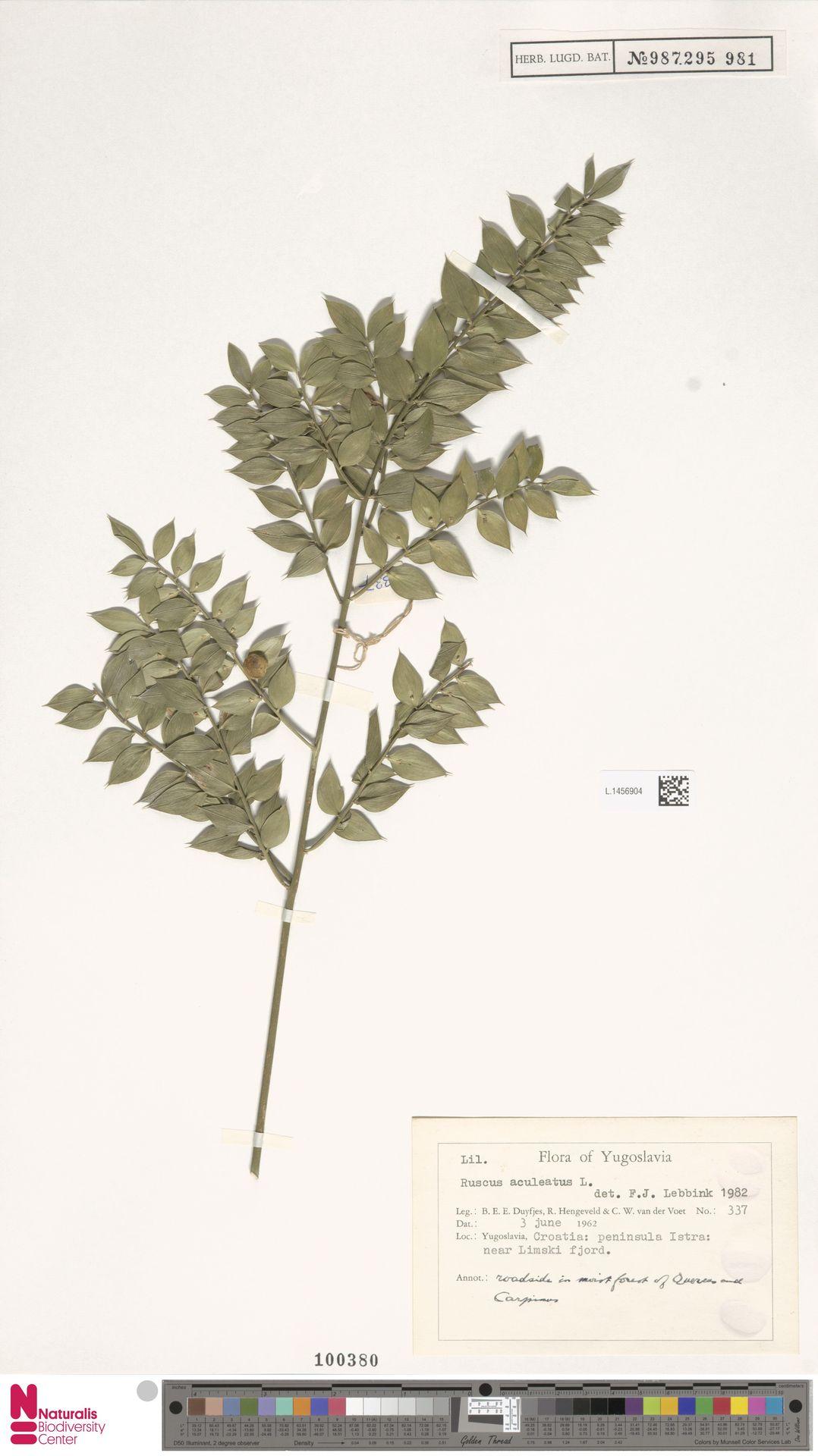 L.1456904   Ruscus aculeatus L.