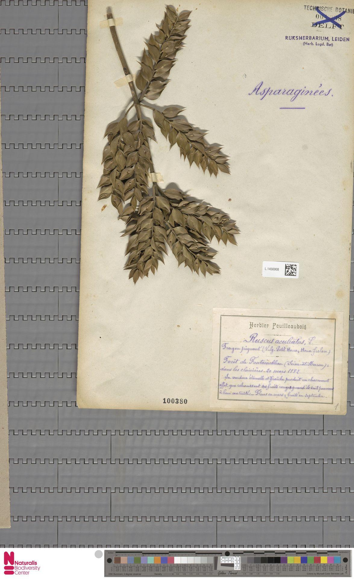 L.1456908 | Ruscus aculeatus L.