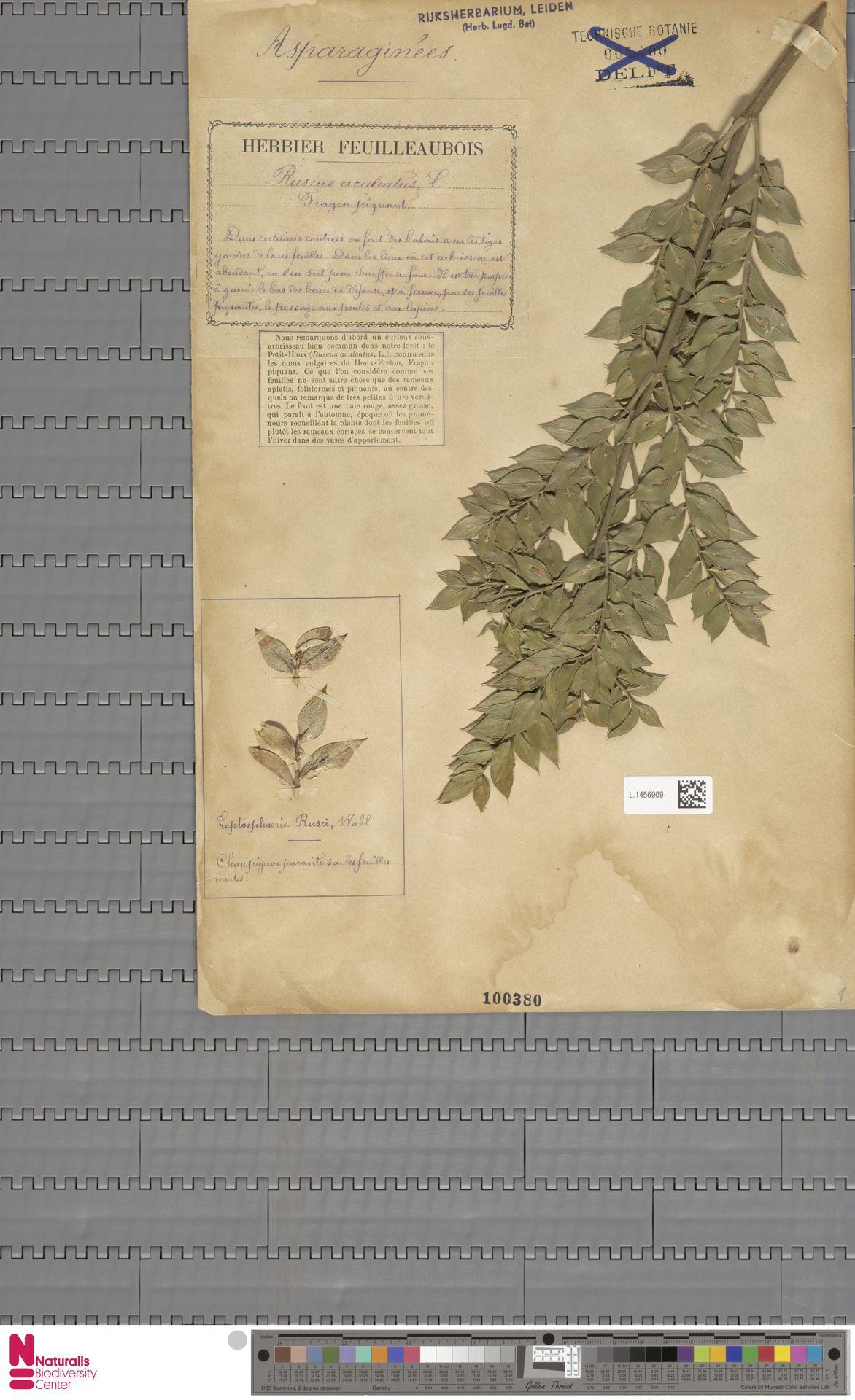L.1456909   Ruscus aculeatus L.