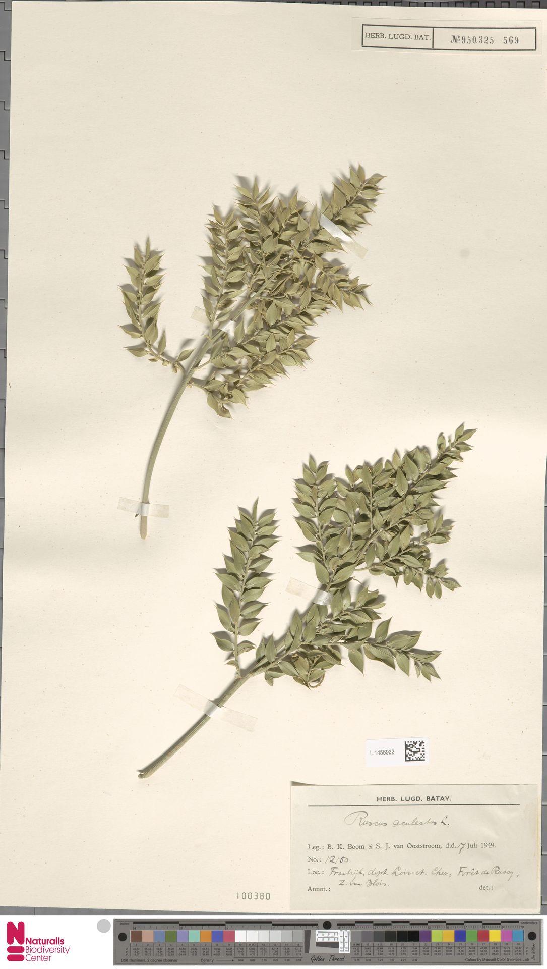 L.1456922   Ruscus aculeatus L.