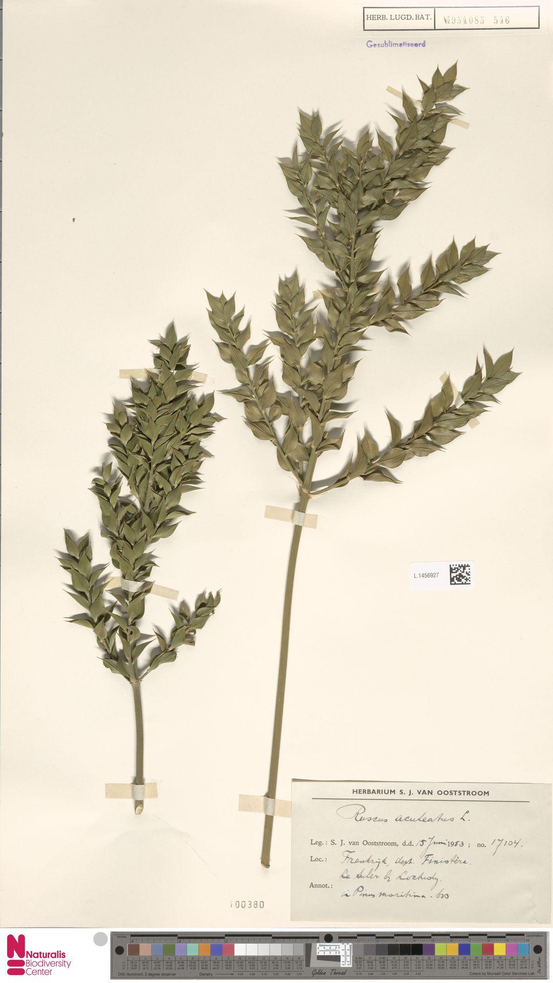 L.1456927 | Ruscus aculeatus L.
