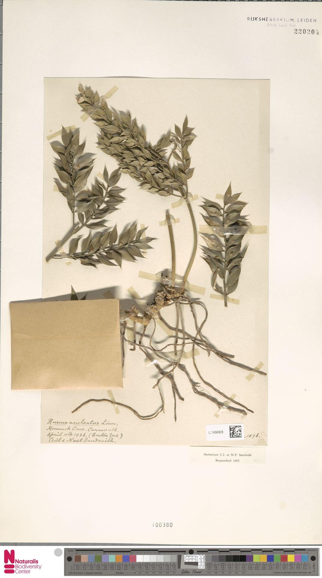 L.1456928 | Ruscus aculeatus L.