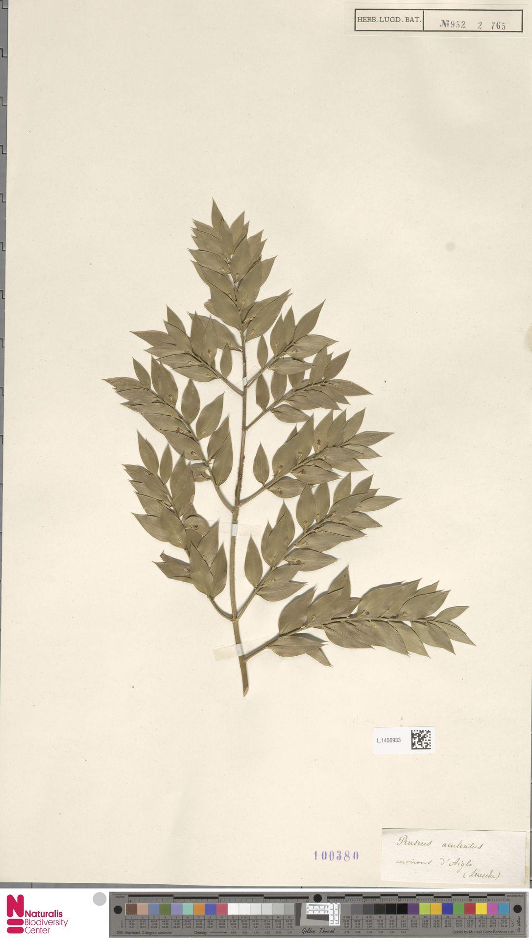 L.1456933 | Ruscus aculeatus L.