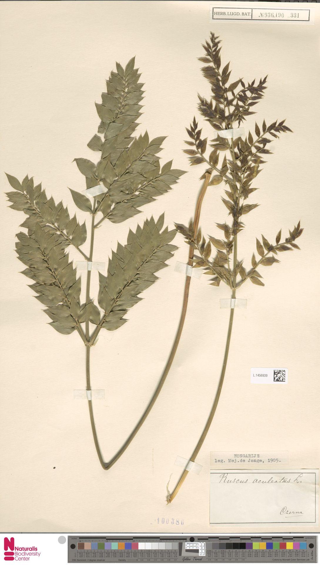 L.1456939 | Ruscus aculeatus L.