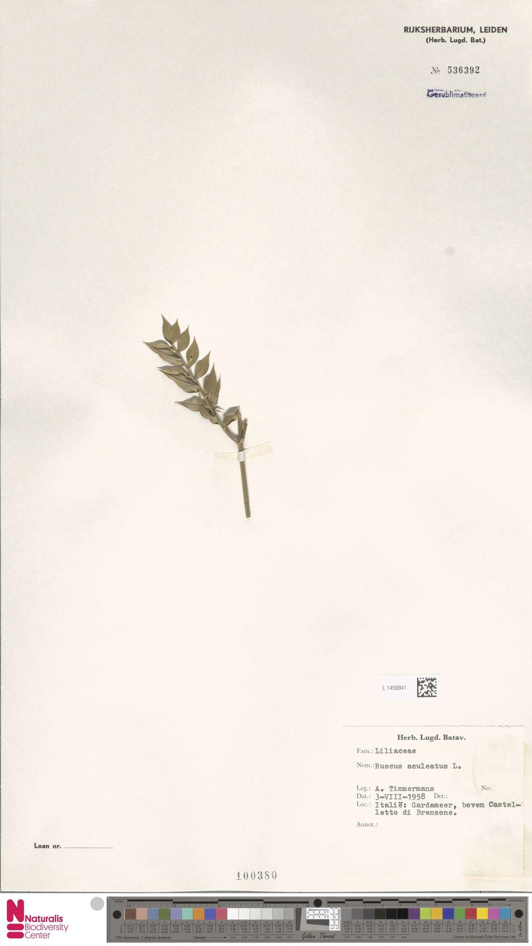 L.1456941 | Ruscus aculeatus L.