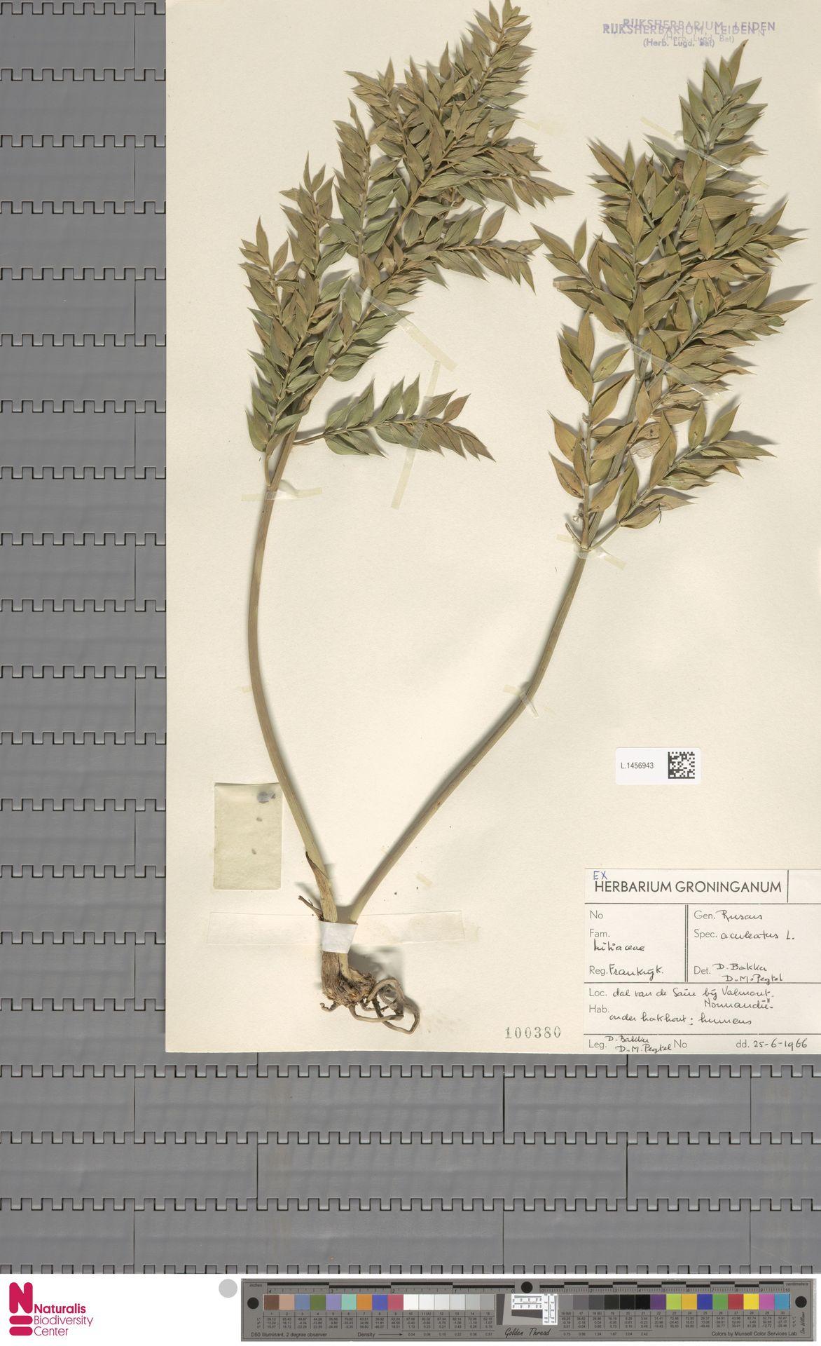 L.1456943 | Ruscus aculeatus L.
