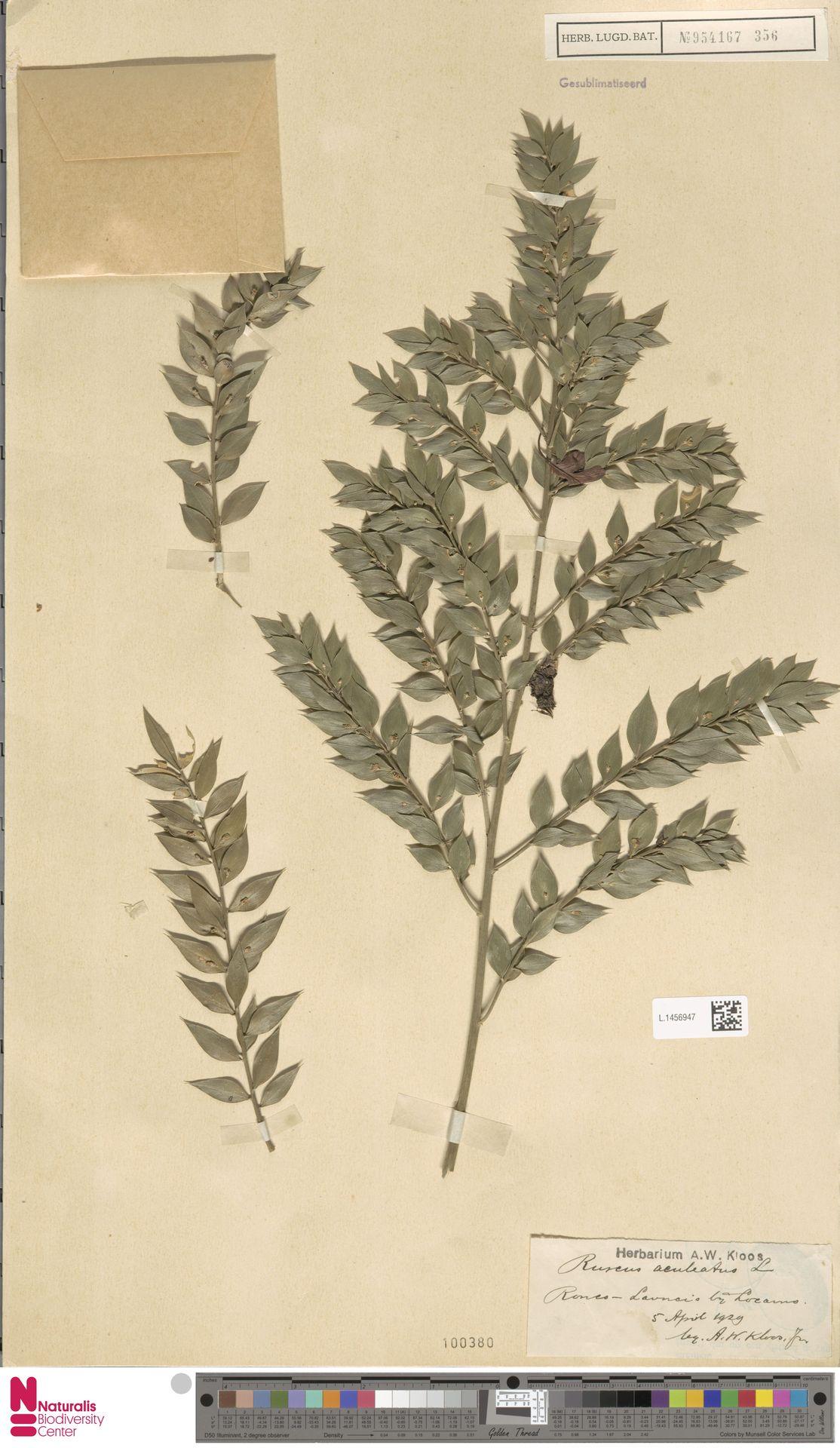 L.1456947   Ruscus aculeatus L.