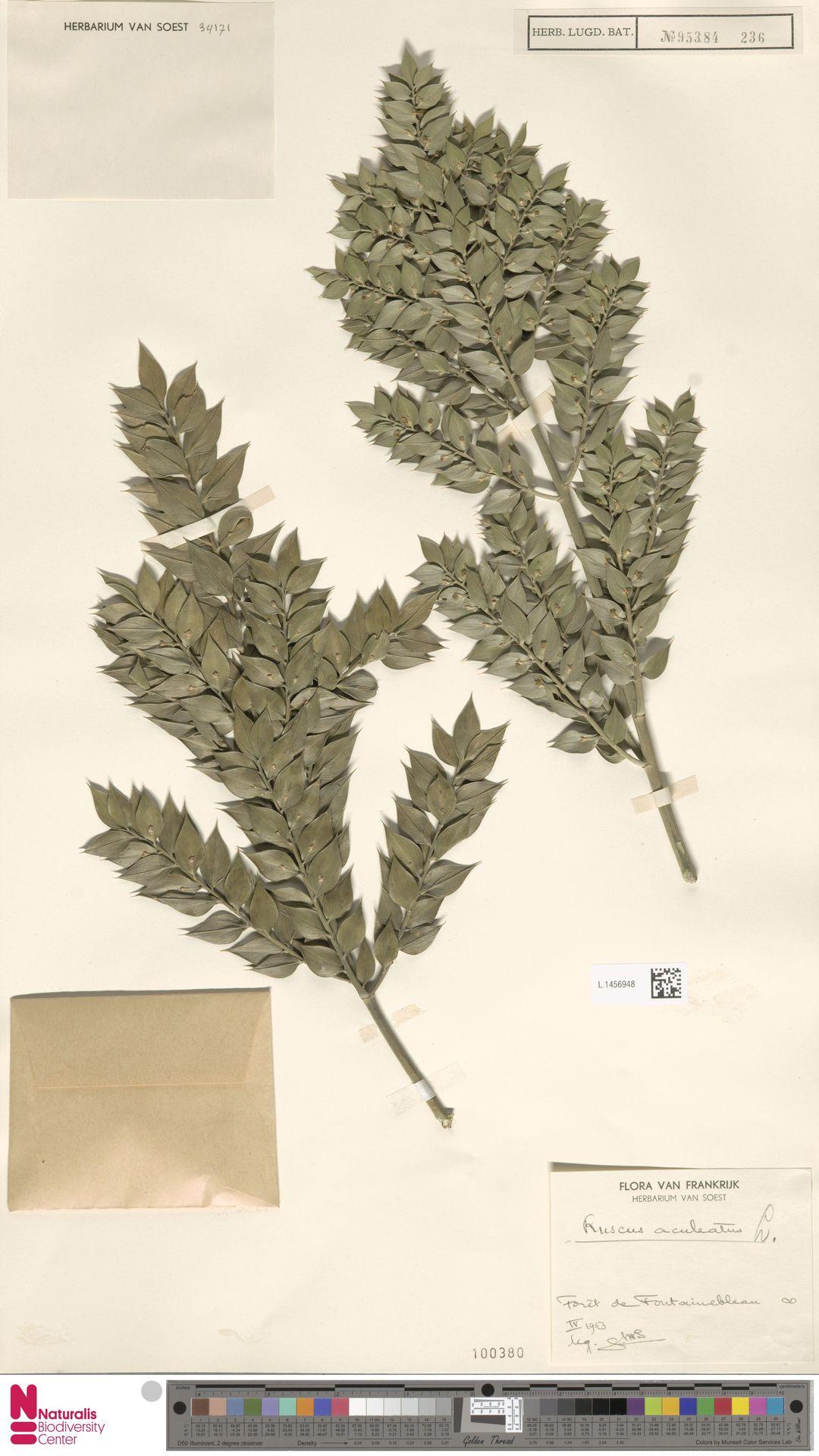 L.1456948   Ruscus aculeatus L.