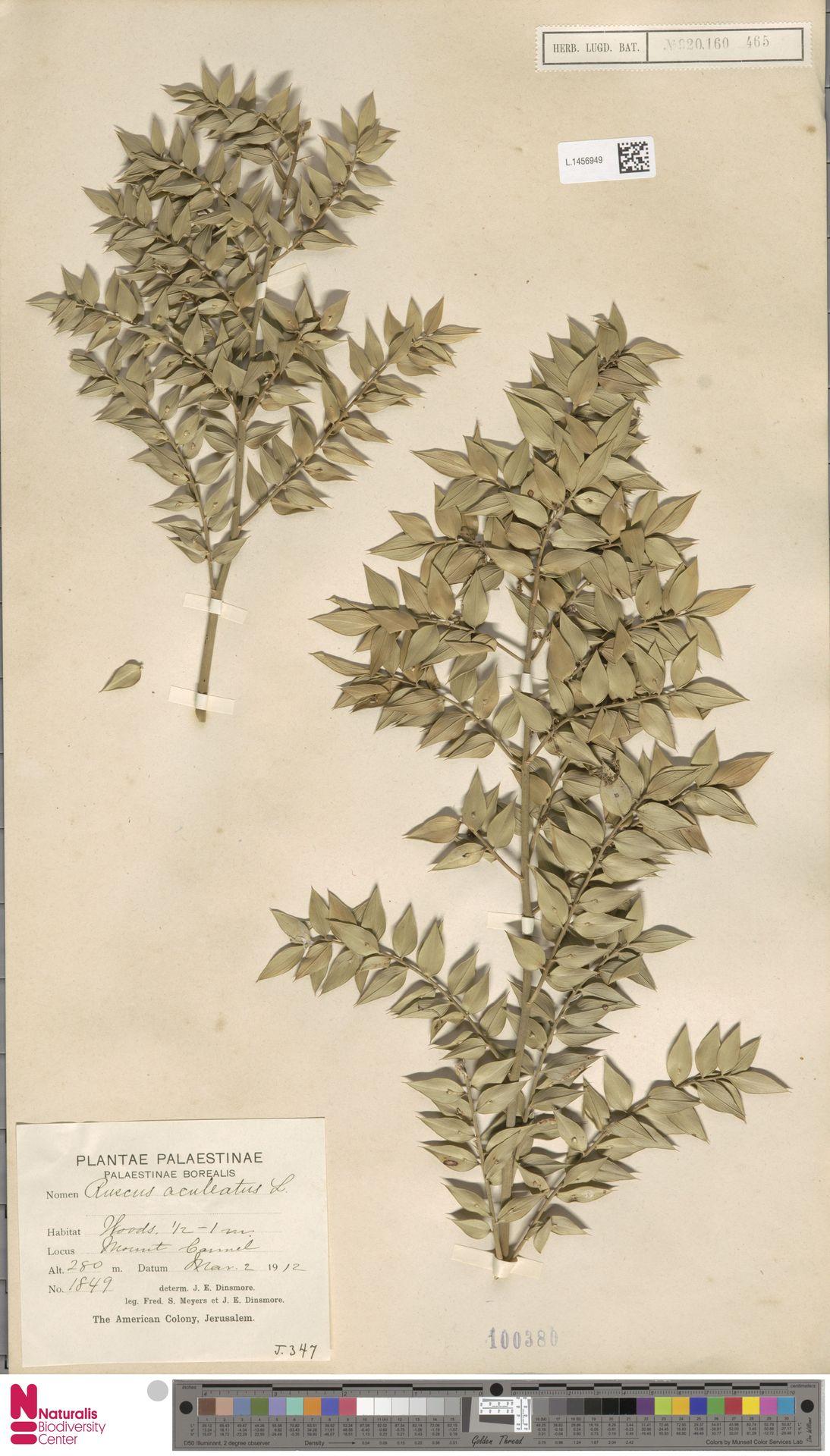 L.1456949 | Ruscus aculeatus L.