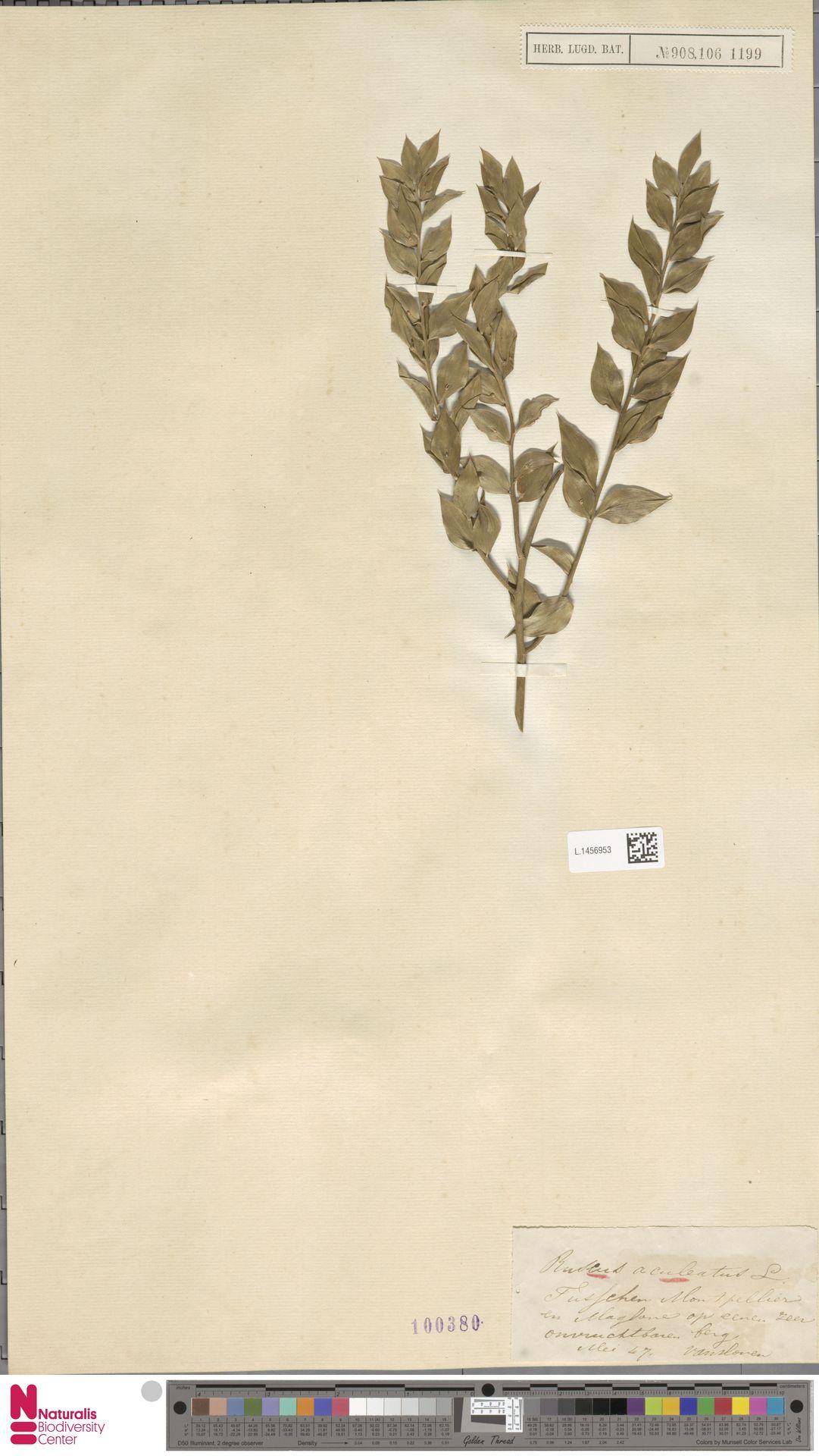 L.1456953 | Ruscus aculeatus L.